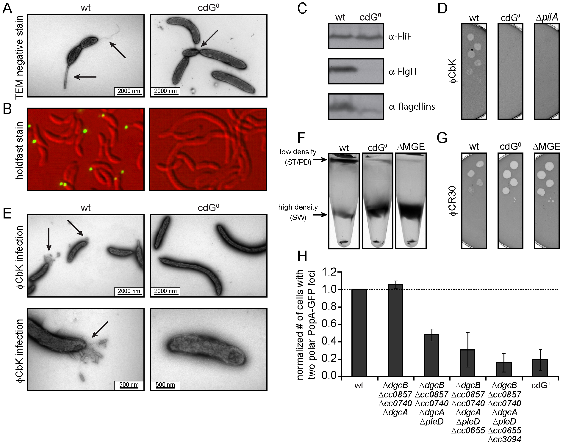 Depletion of c-di-GMP leads to severe deficiencies in development and cell morphology.