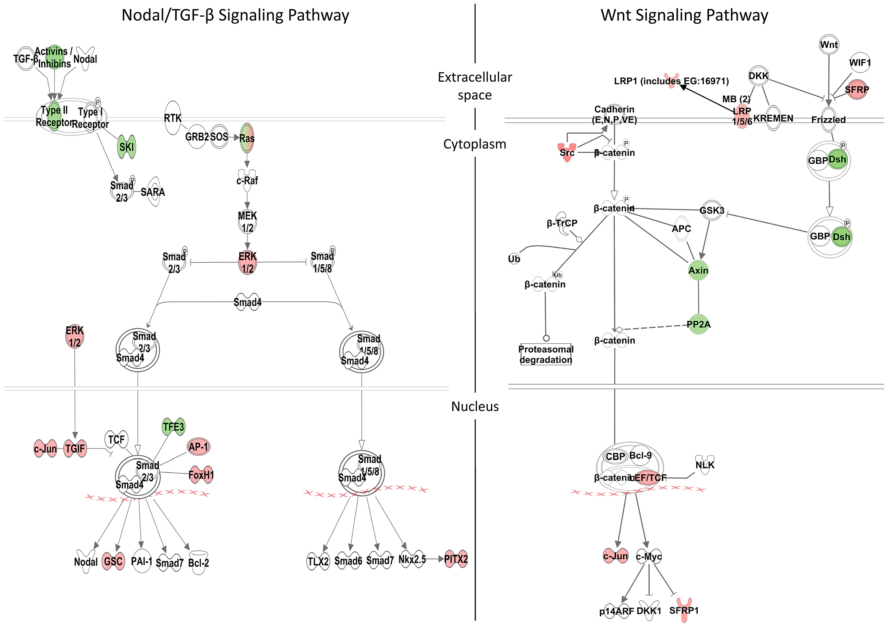 Zic3-regulated genes in the Nodal and Wnt signaling pathways.