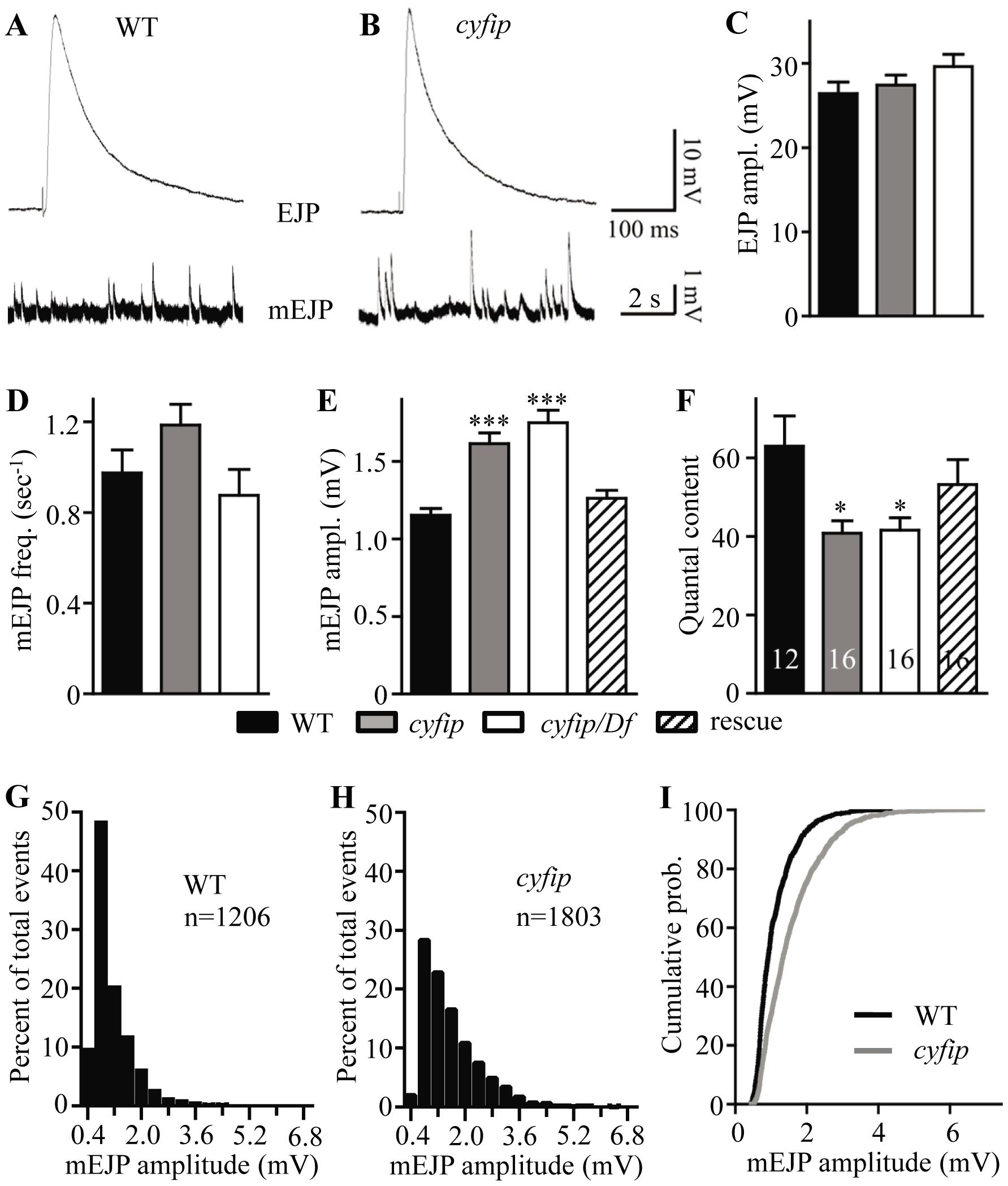 <i>cyfip</i> mutants show normal evoked junctional potential (EJP) amplitudes but larger spontaneous mEJP amplitudes.