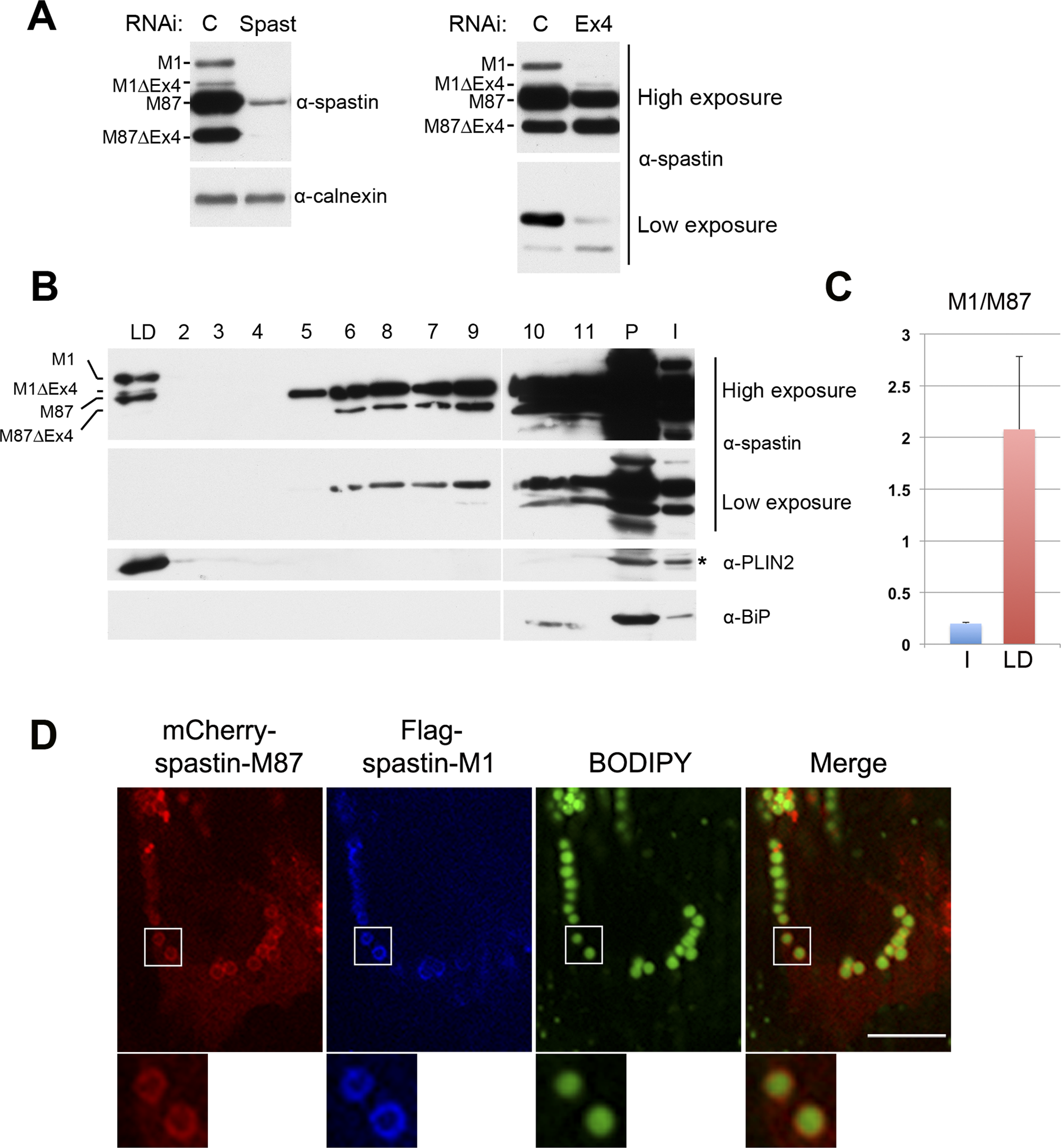 Endogenous spastin-M1 is detected in purified LDs.