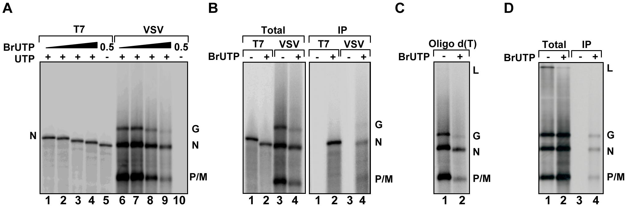 VSV RNA polymerase incorporates BrUTP during transcription <i>in vitro</i> and <i>in vivo</i>.