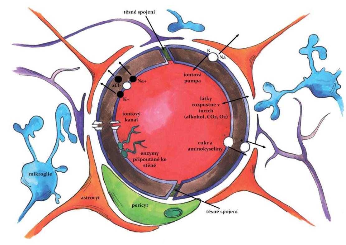 HEB – Základní anatomická struktura HEB. Fig. 2. Blood-brain barrier (BBB) – basic anatomy of BBB.