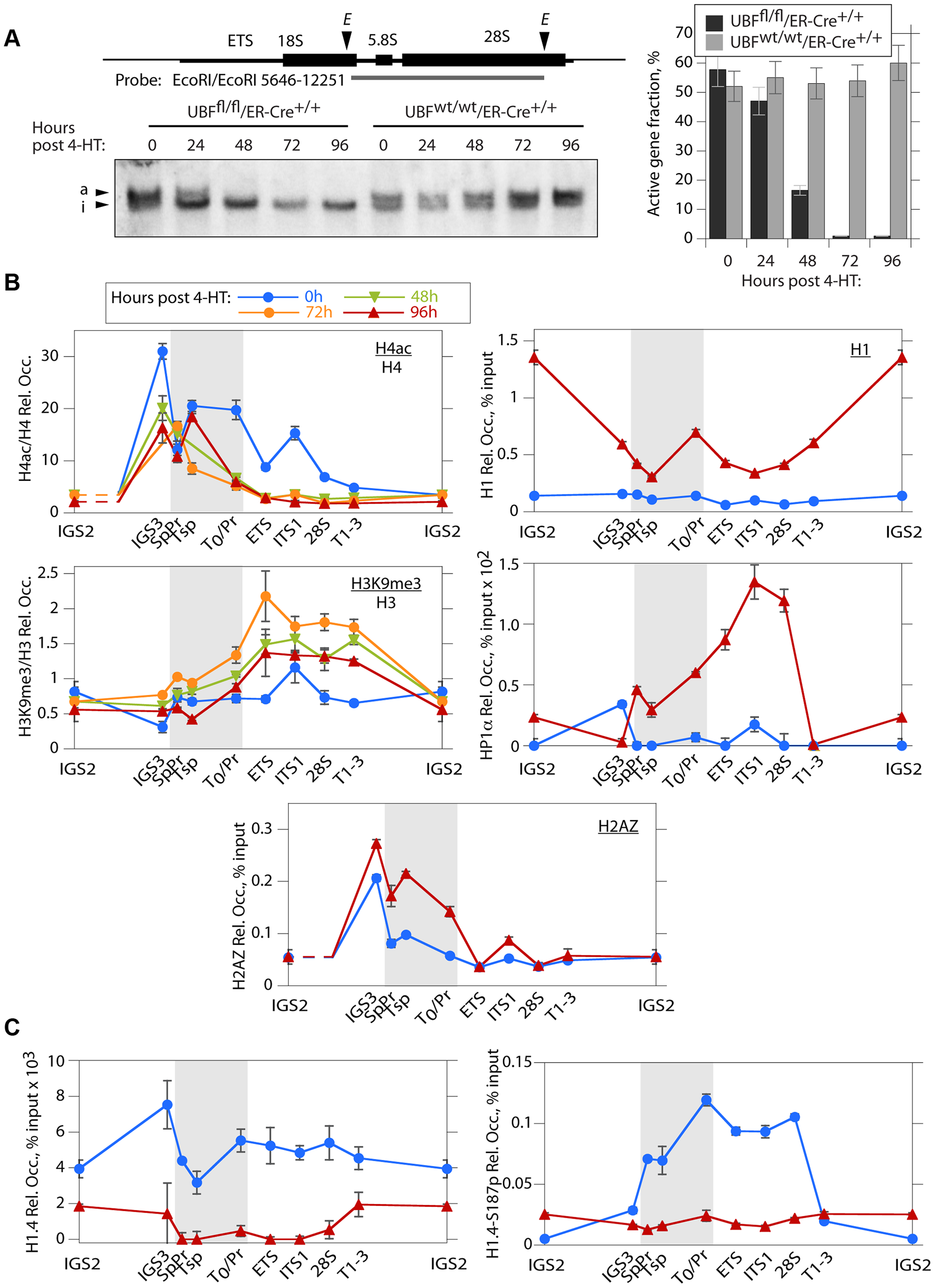 The rDNA chromatin is extensively remodelled during UBF elimination.