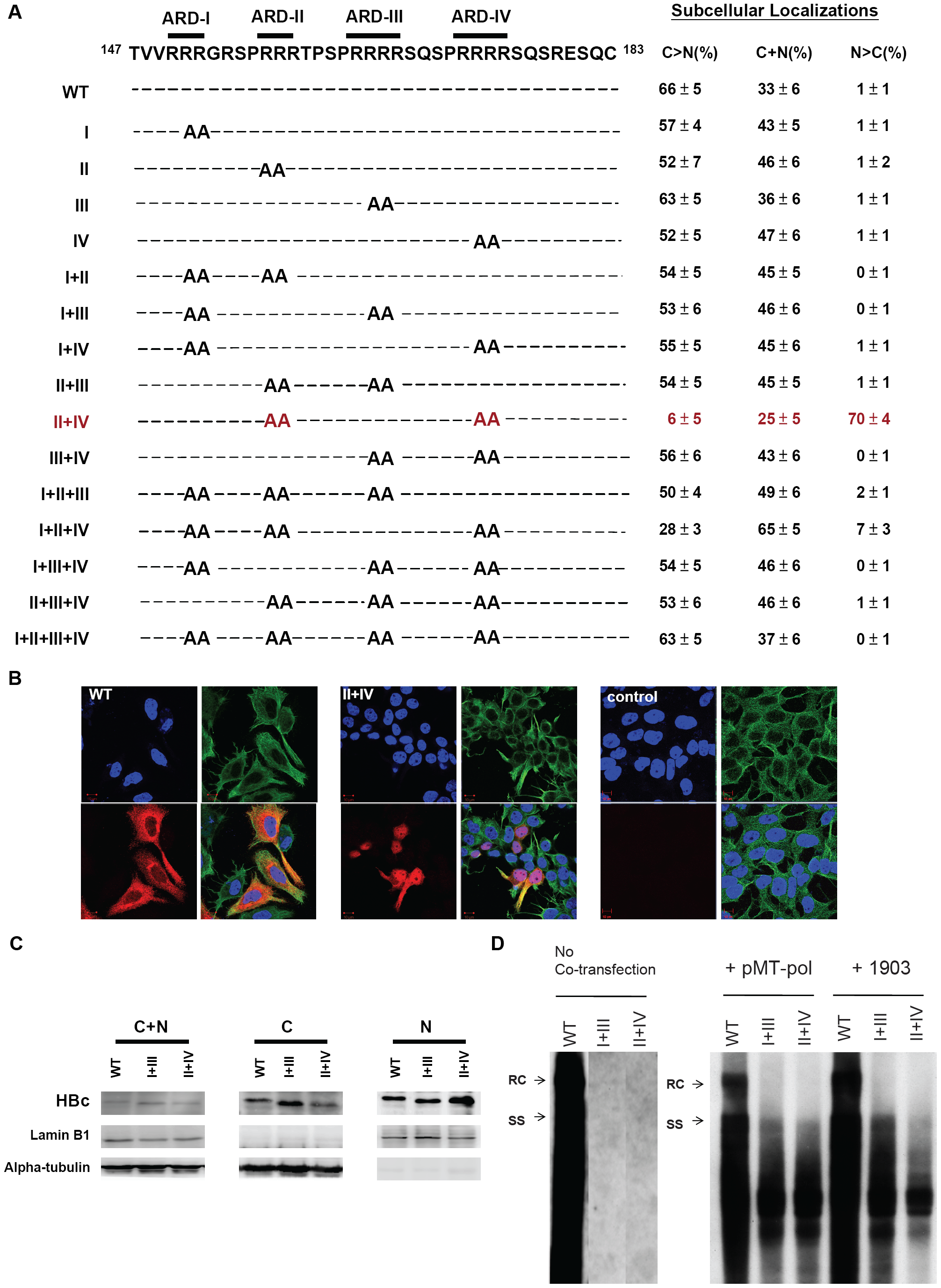 Subcellular localization of HBc of 15 HBc ARD mutants was evaluated by immunofluorescence assay (IFA) of Huh7 cells, which had been cotransfected with HBc ARD mutants and plasmid pMT-pol expressing HBV polymerase, using a double-blind protocol.
