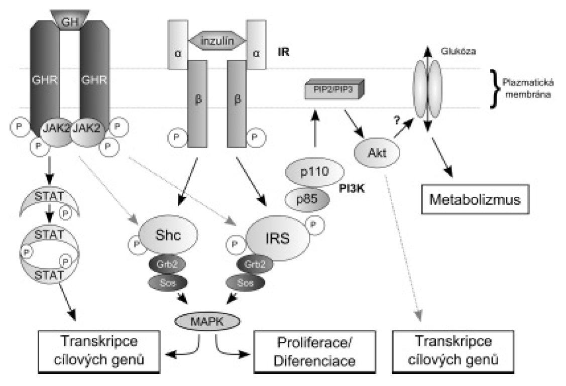Schéma. Konvergence mezi signalizačními kaskádami inzulinu a růstového hormonu (GH); upraveno podle [4].