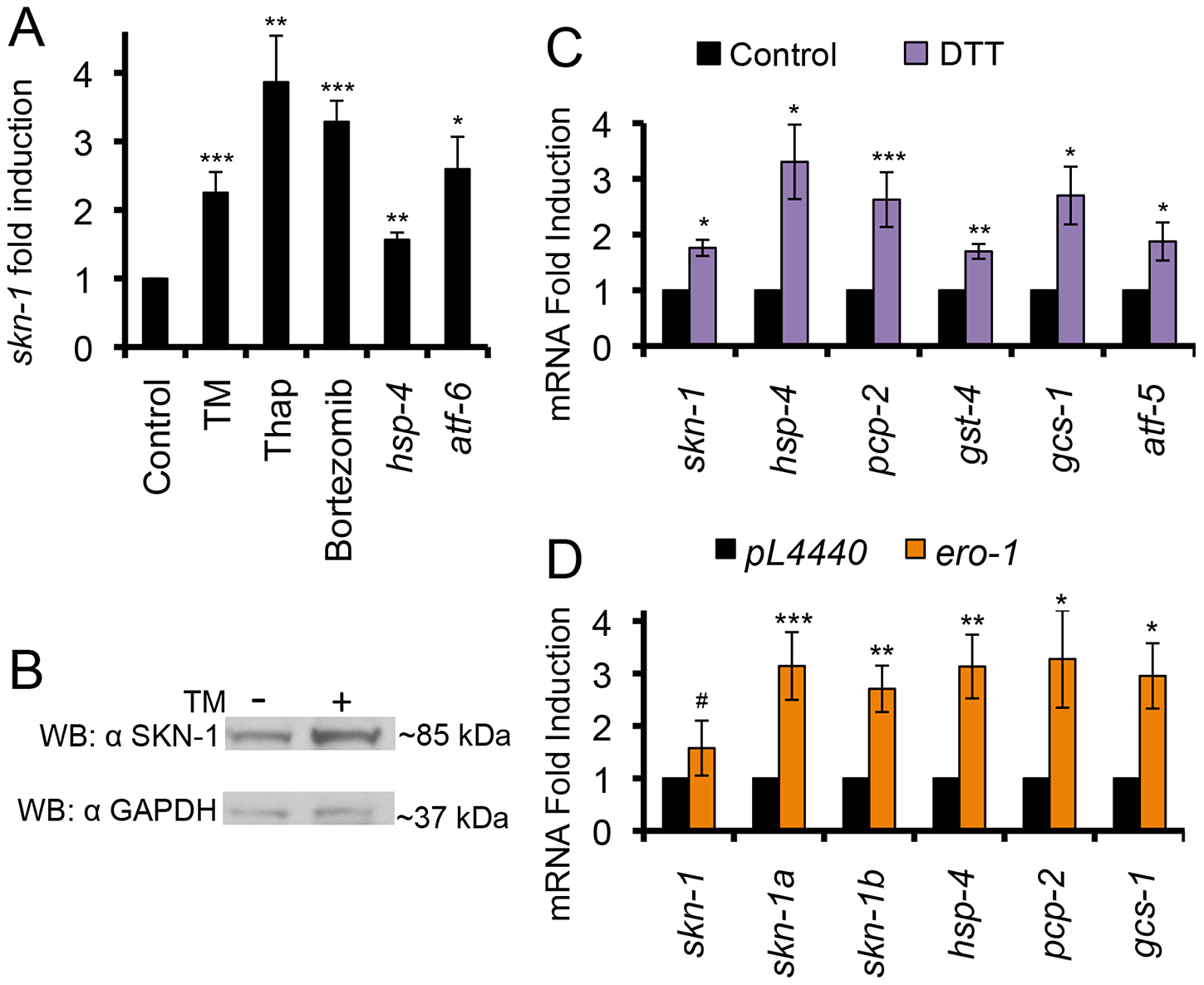 ER stress activates SKN-1 independently of oxidative stress.