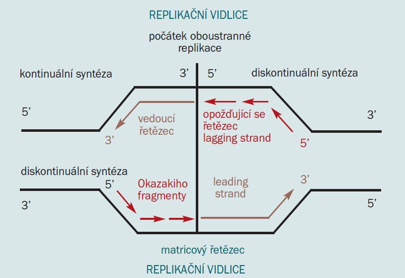 Schéma 1. Replikační vidlice [18].