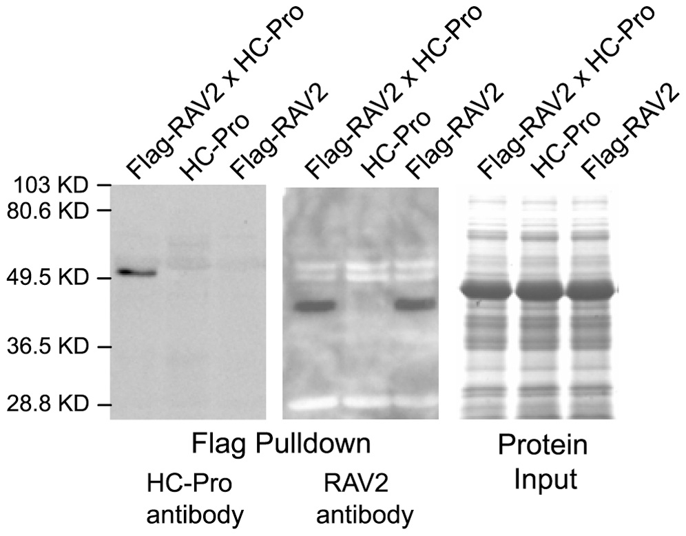 <i>In vivo</i> Interaction of RAV2 and TuMV HC-Pro in Arabidopsis.