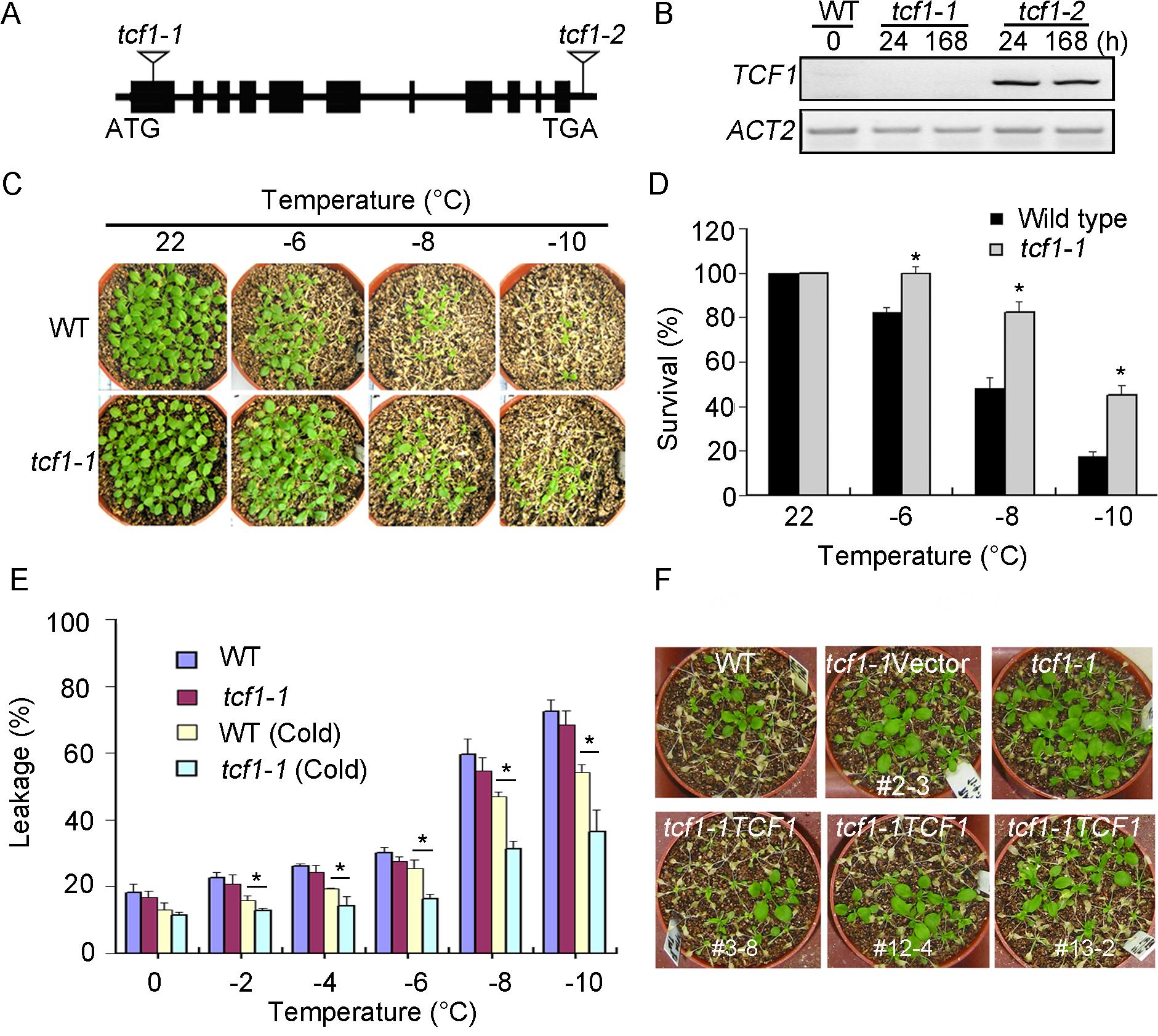 <i>tcf1-1</i> plants are tolerant to freezing treatment.