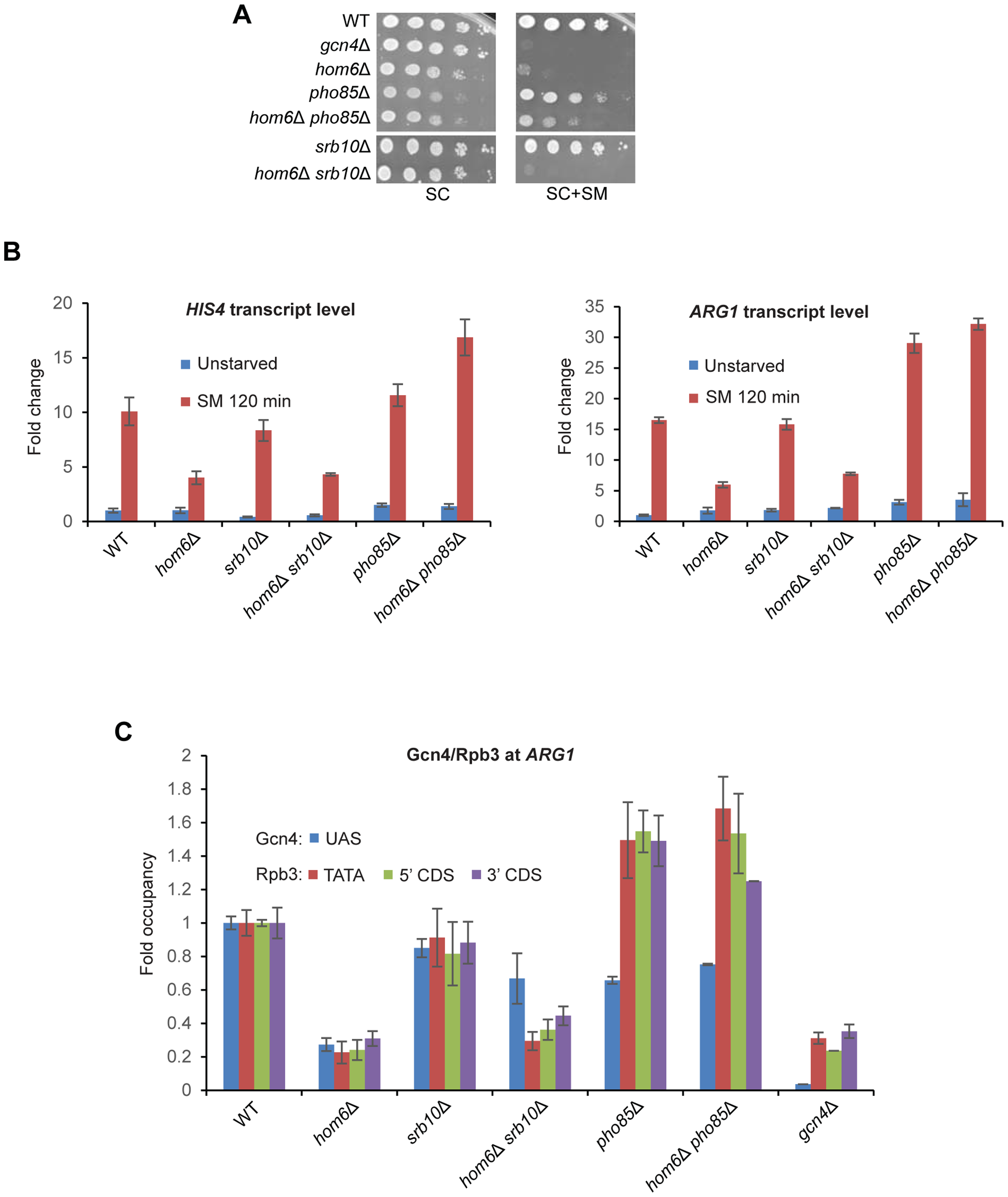 Deleting <i>SRB10</i> or <i>PHO85</i> stabilizes functionally distinct populations of Gcn4 in <i>hom6Δ</i> cells treated with SM.
