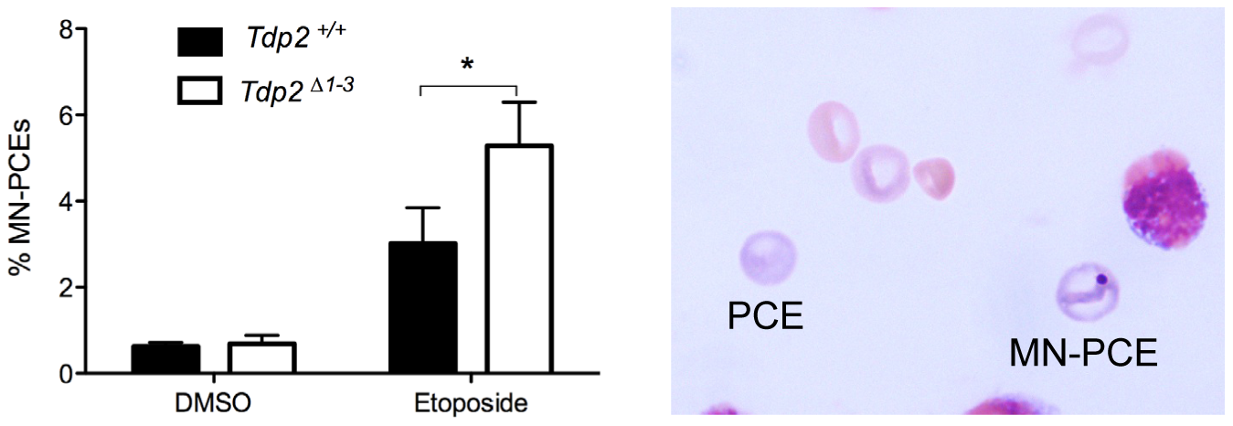 The absence of TDP2 increases etoposide-induced genome instability <i>in vivo</i>.