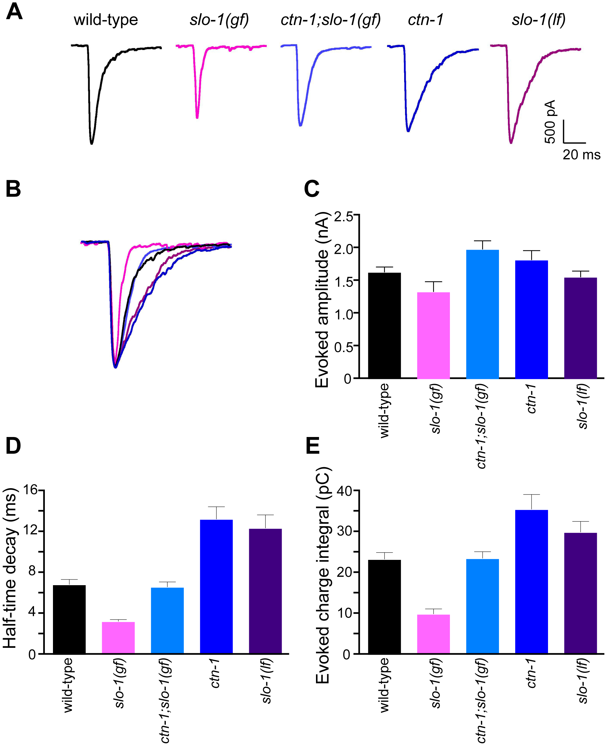 <i>ctn-1</i> mutation suppresses defects of <i>slo-1(gf)</i> evoked synaptic responses at the neuromuscular junctions.