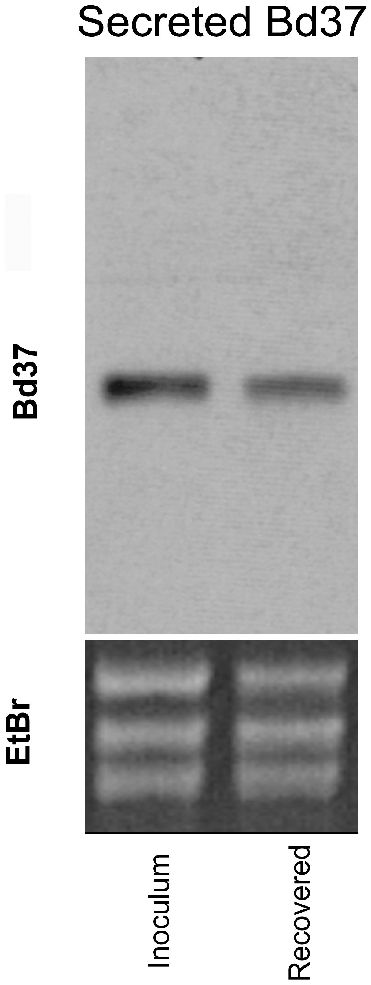 Sustained transgene expression in <i>T. theileri</i> after growth in cattle.