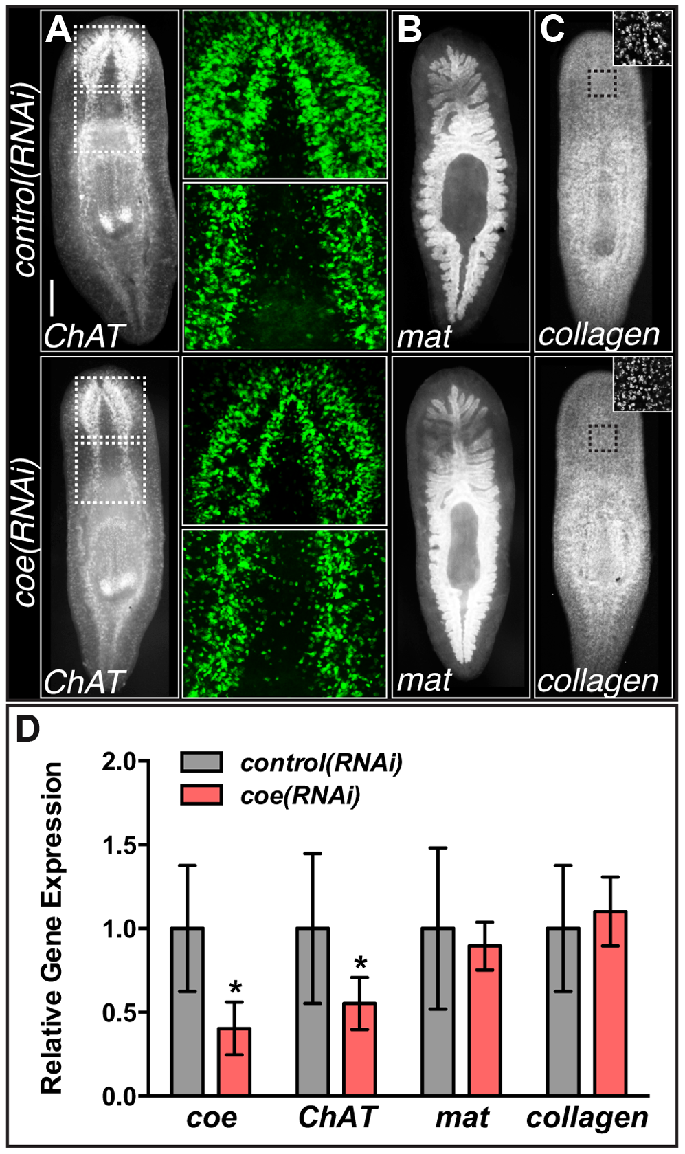 <i>coe</i> RNAi strongly inhibits the expression of <i>ChAT</i> in intact planarians.