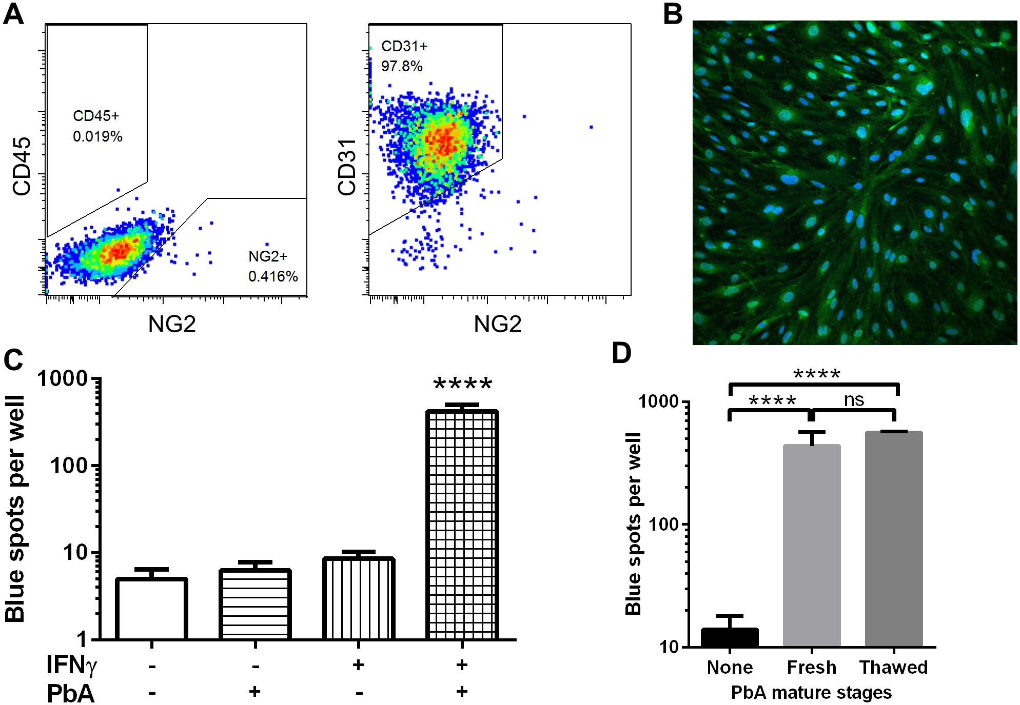 IFNγ-stimulated MBECs cross-present PbA antigen <i>in vitro</i>.