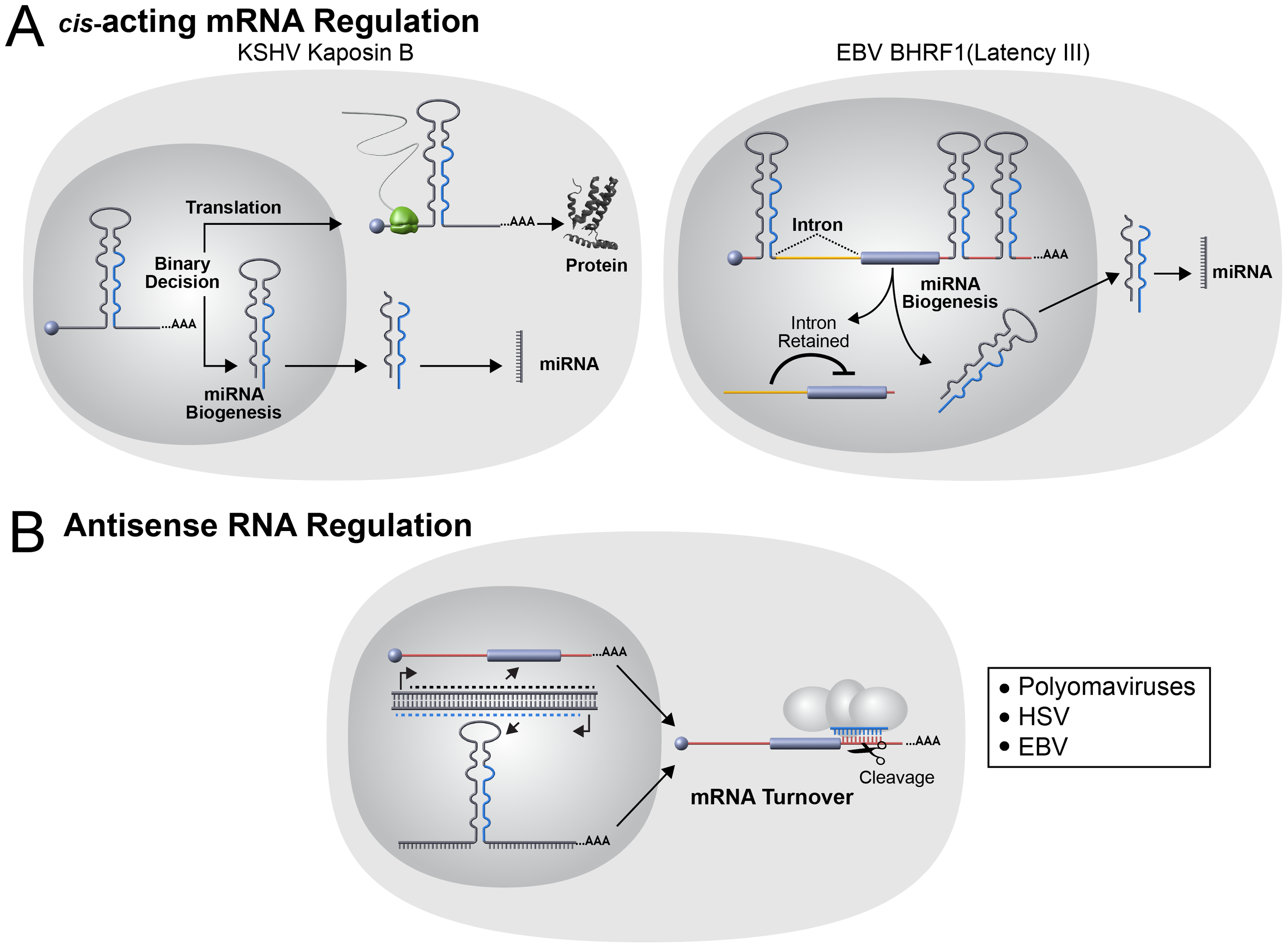 Noncanonical viral miRNA functions.