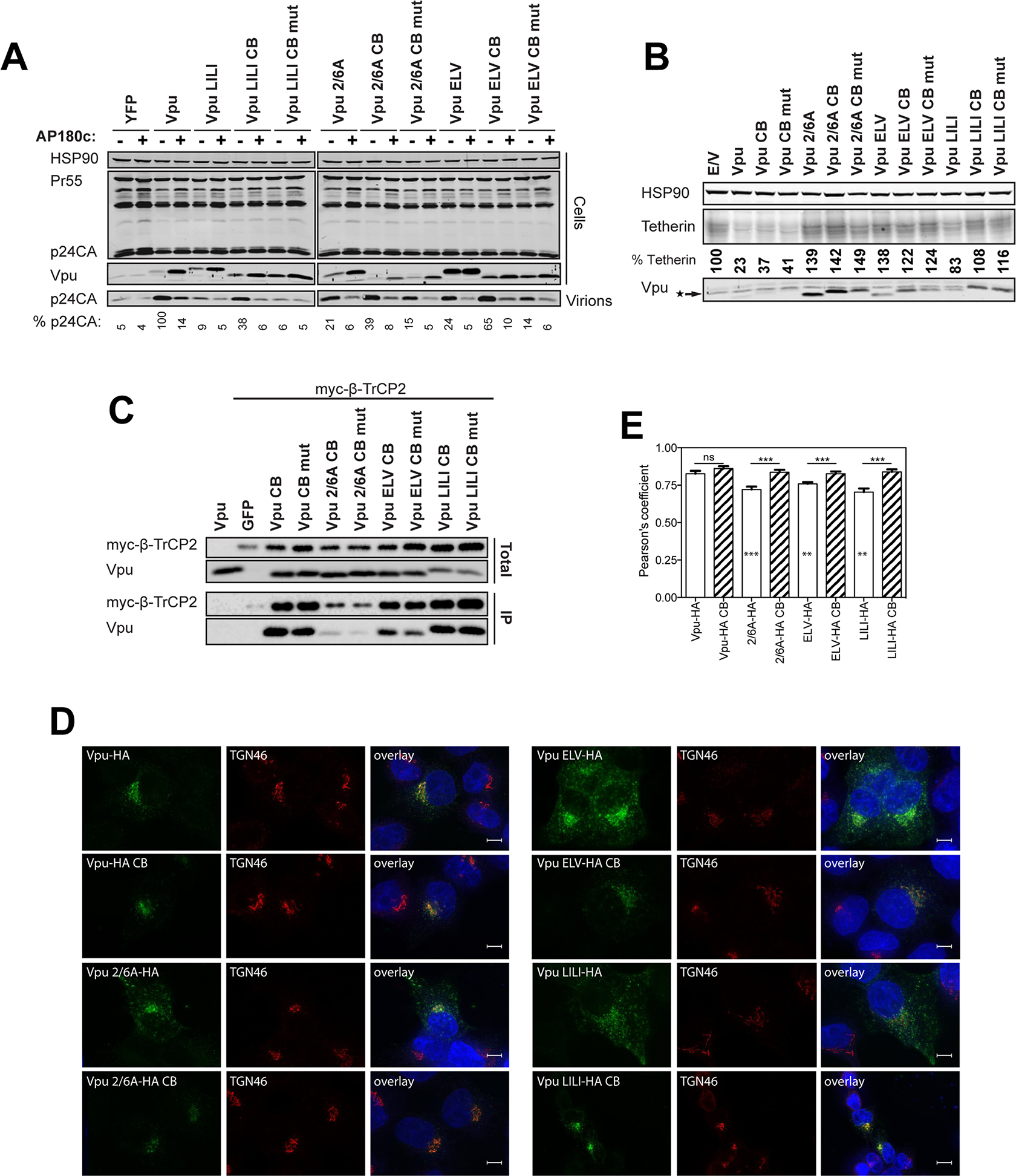Clathrin binding rescues Vpu localization without restoring β-TrCP binding or tetherin degradation.