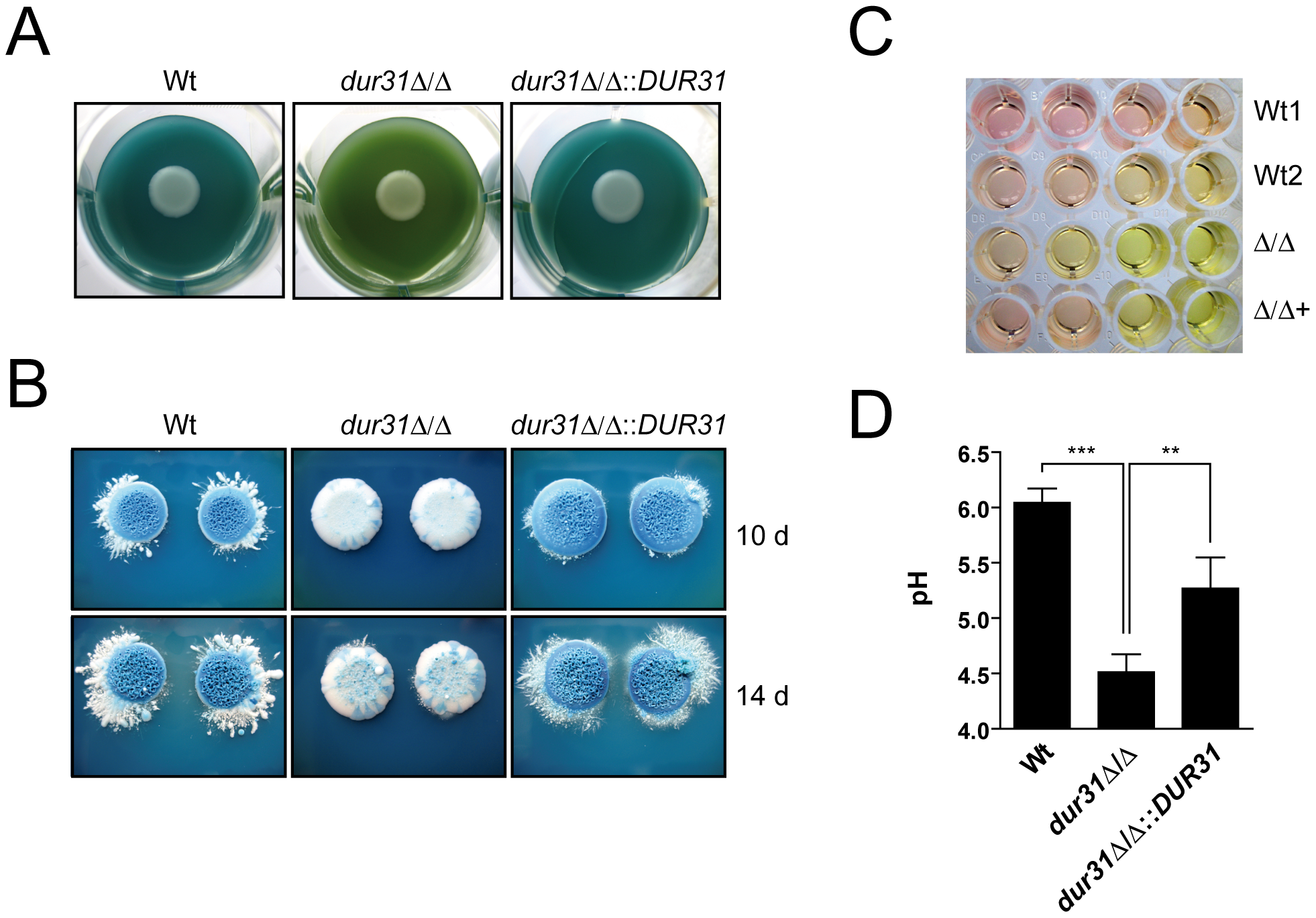 Dur31 mediates extracellular alkalinization.