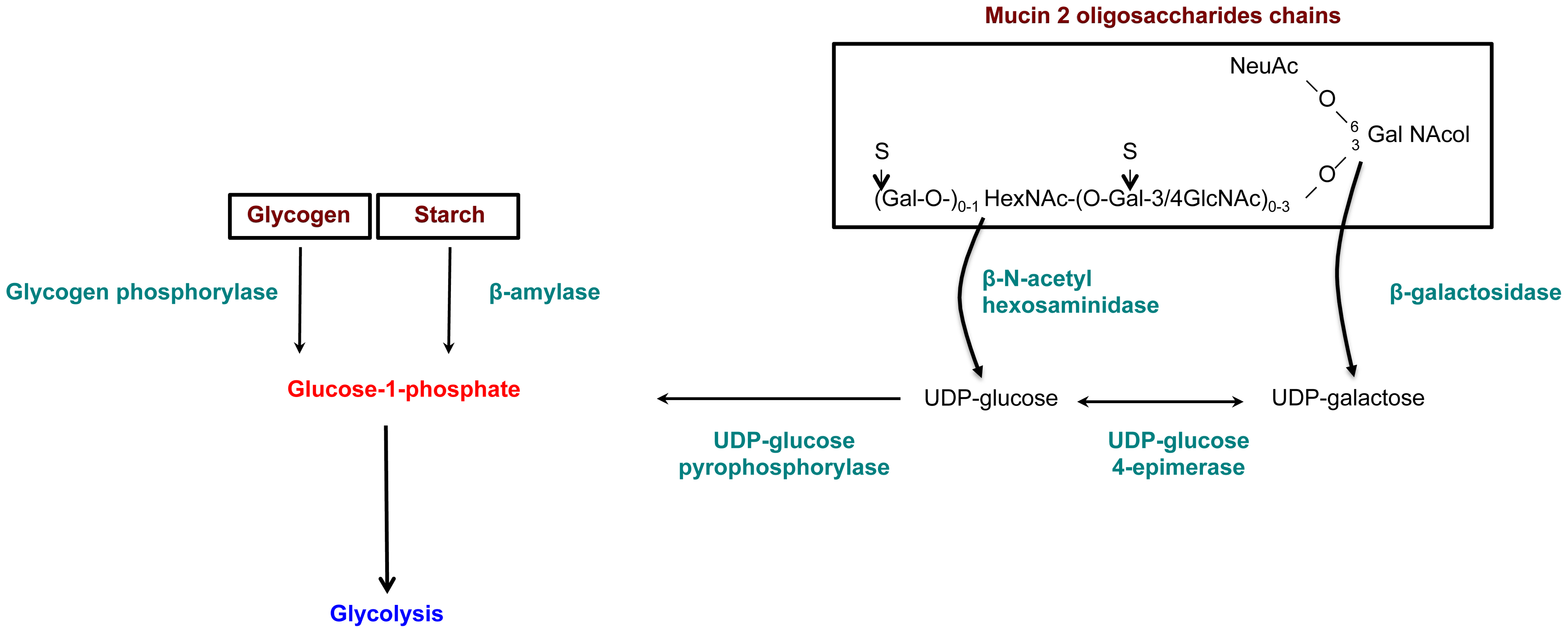 Enzymes overexpressed and involved in carbohydrate metabolism specific to the virulent HM1:IMSS strain.