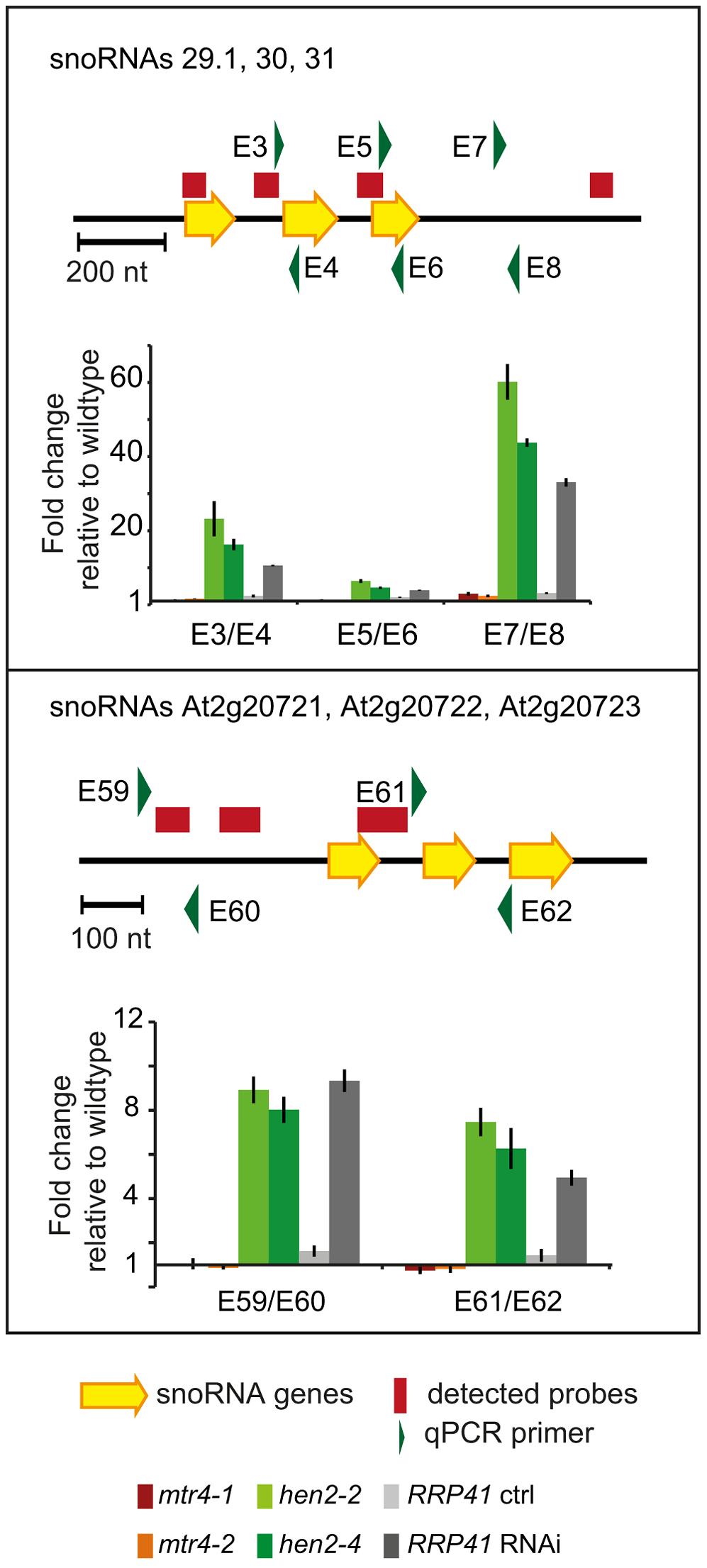 <i>hen2</i> mutants accumulate snoRNA precursors.