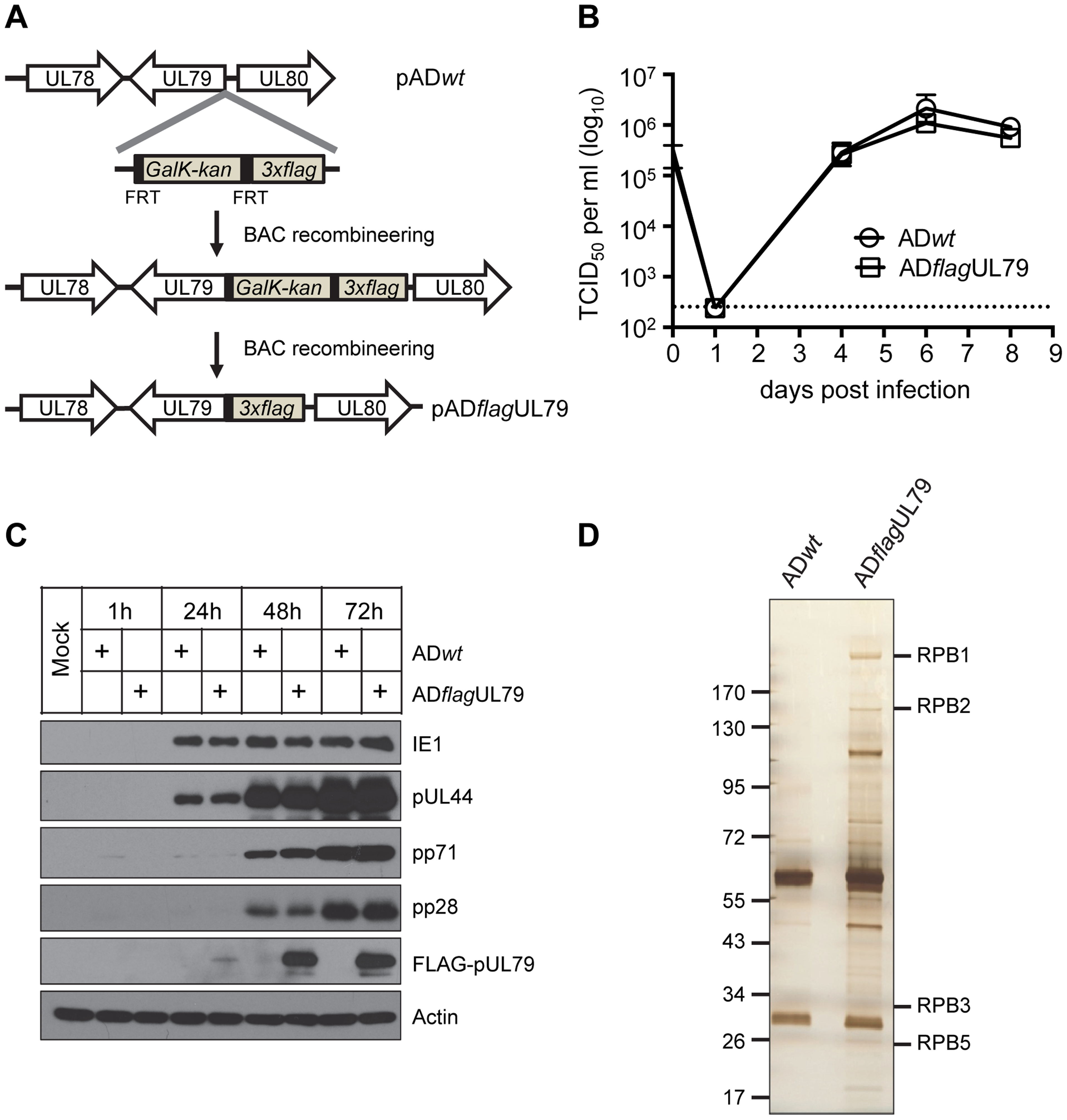 Identification of pUL79 interacting proteins.