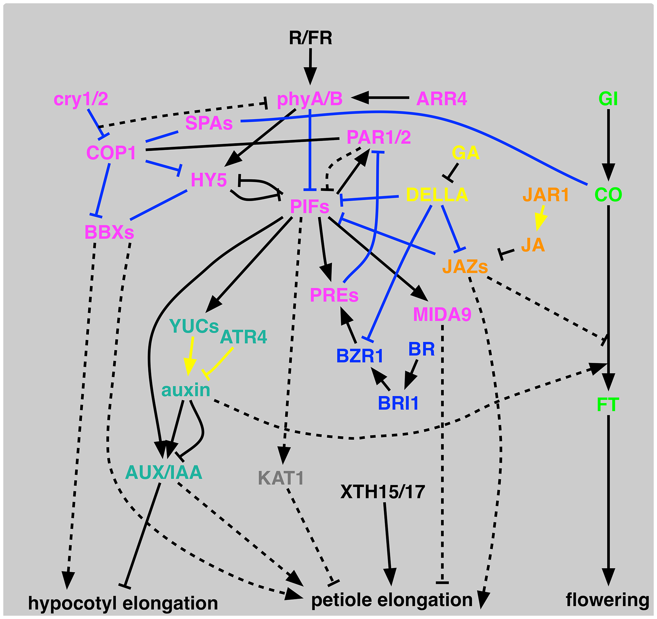 Schematic representation of proposed signal transduction for shade-avoidance syndrome.