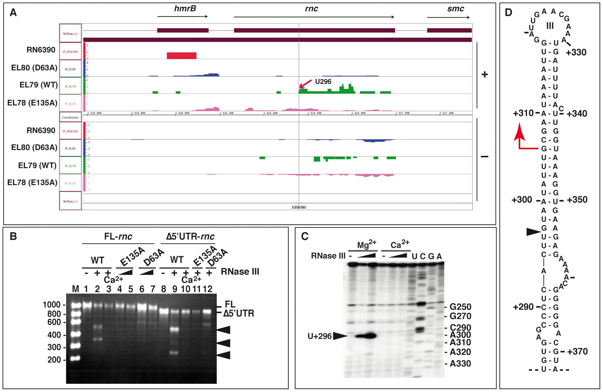 RNase III autoregulates its own expression.
