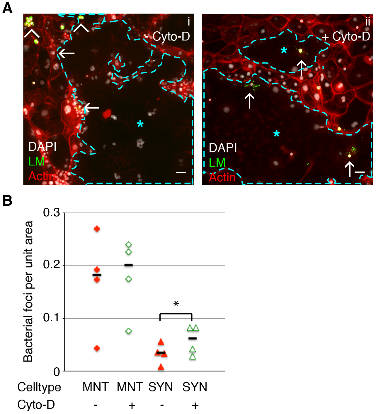 Cell-to-cell spread of <i>L. monocytogenes</i> (LM) into mouse syncytiotrophoblast (SYN) is enhanced by syncytial actin network disruption.