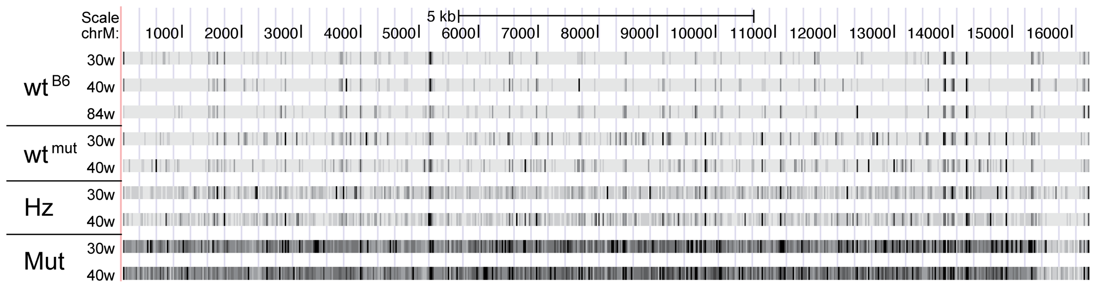 Corrected mutational frequencies viewed in the UCSC genome browser.