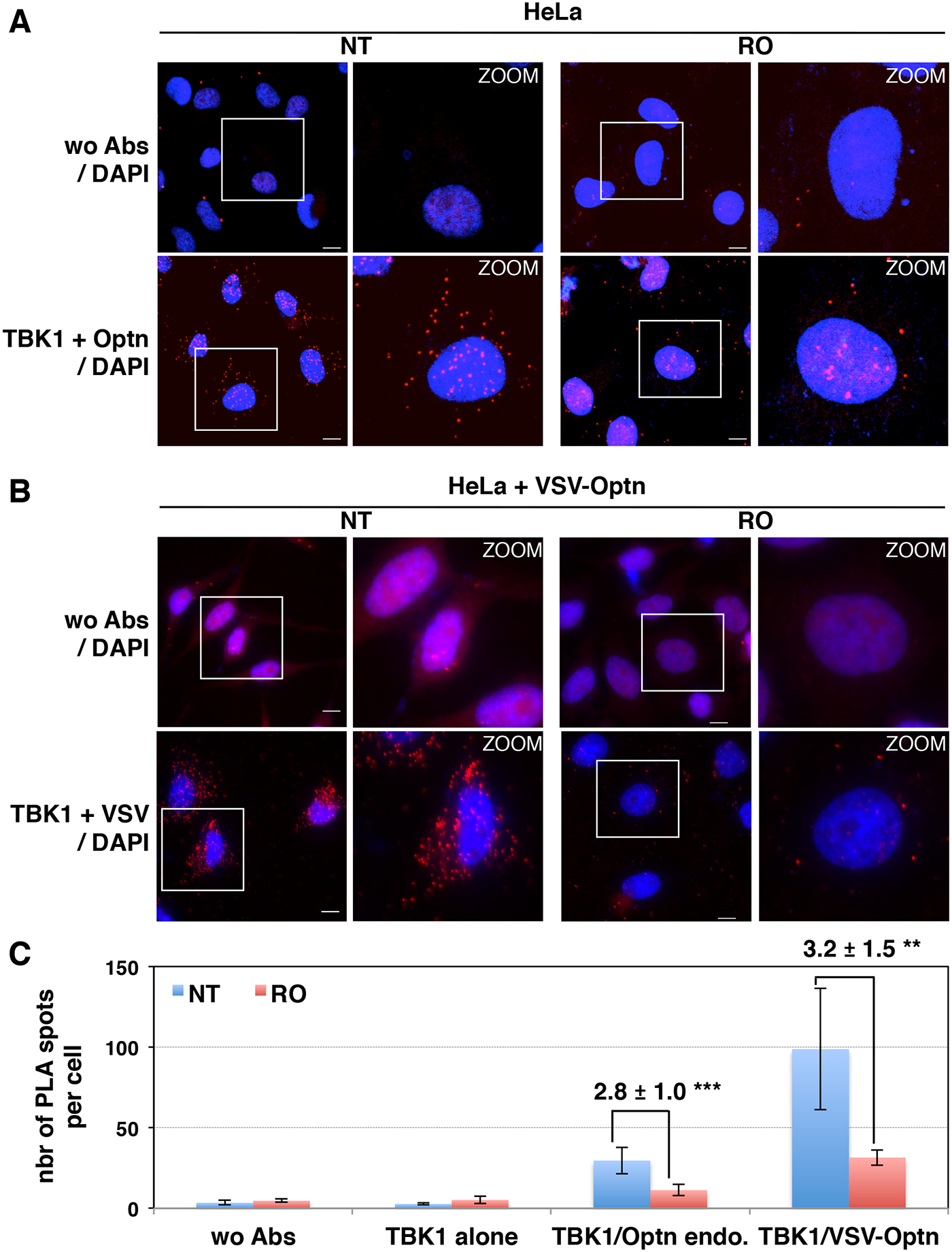 Interaction between TBK1 and Optn is prevented in G2/M synchronized cells.