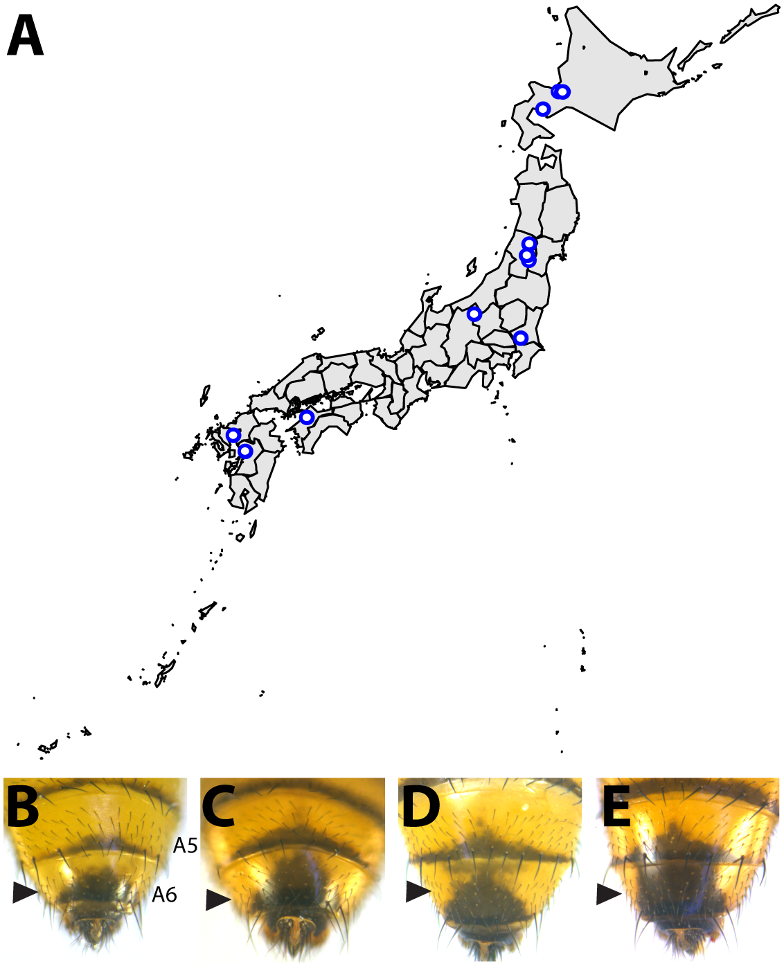 Intraspecific variation in abdominal pigmentation of <i>D</i>. <i>auraria</i> across Japan.