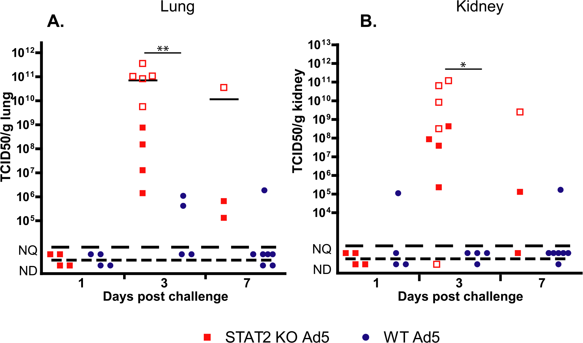 The infectious virus load in the lung (A) and kidney (B) of STAT2 KO hamsters is elevated after intravenous infection with Ad5 compared to wt hamsters.