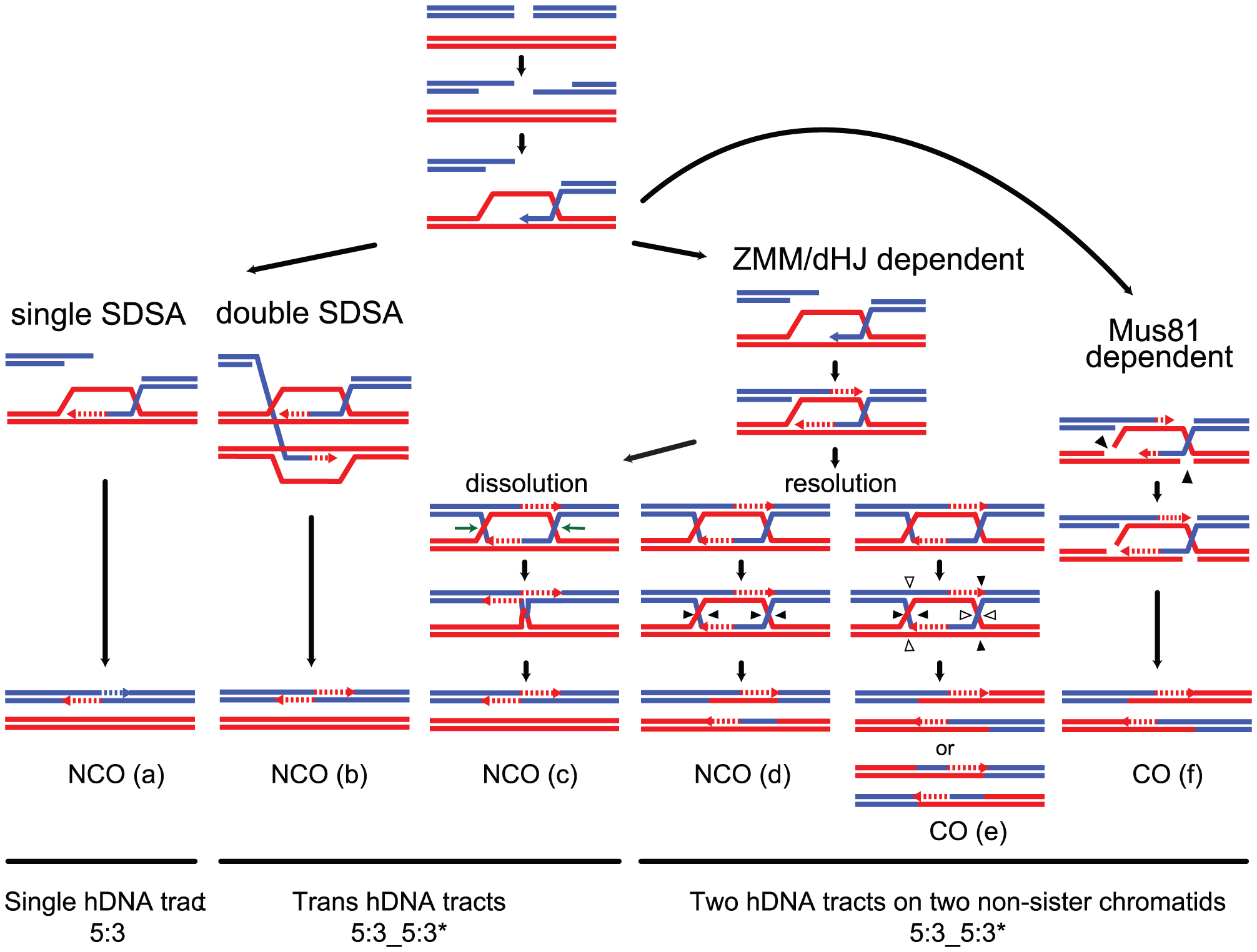 Strand transfers during canonical meiotic DSB repair pathways.