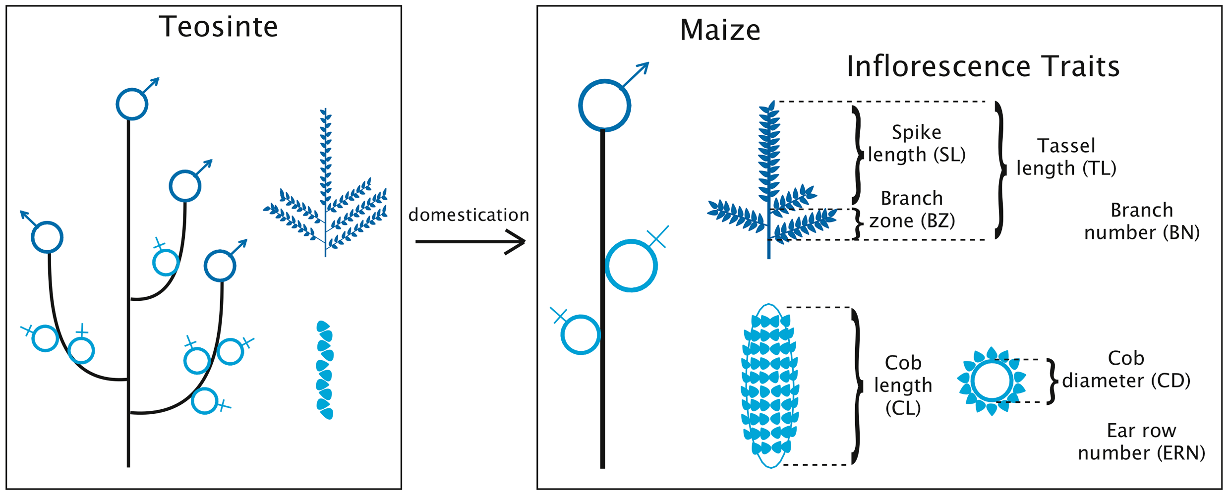 Evolution of plant and inflorescence architecture during maize domestication.