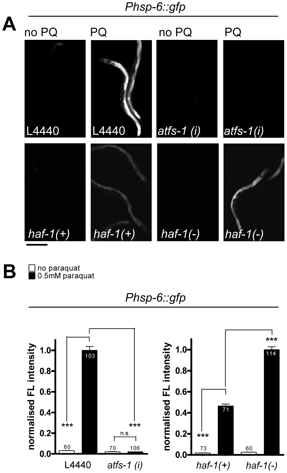 The induction of <i>hsp-6::gfp</i> by paraquat does not require HAF-1, but ATFS-1.