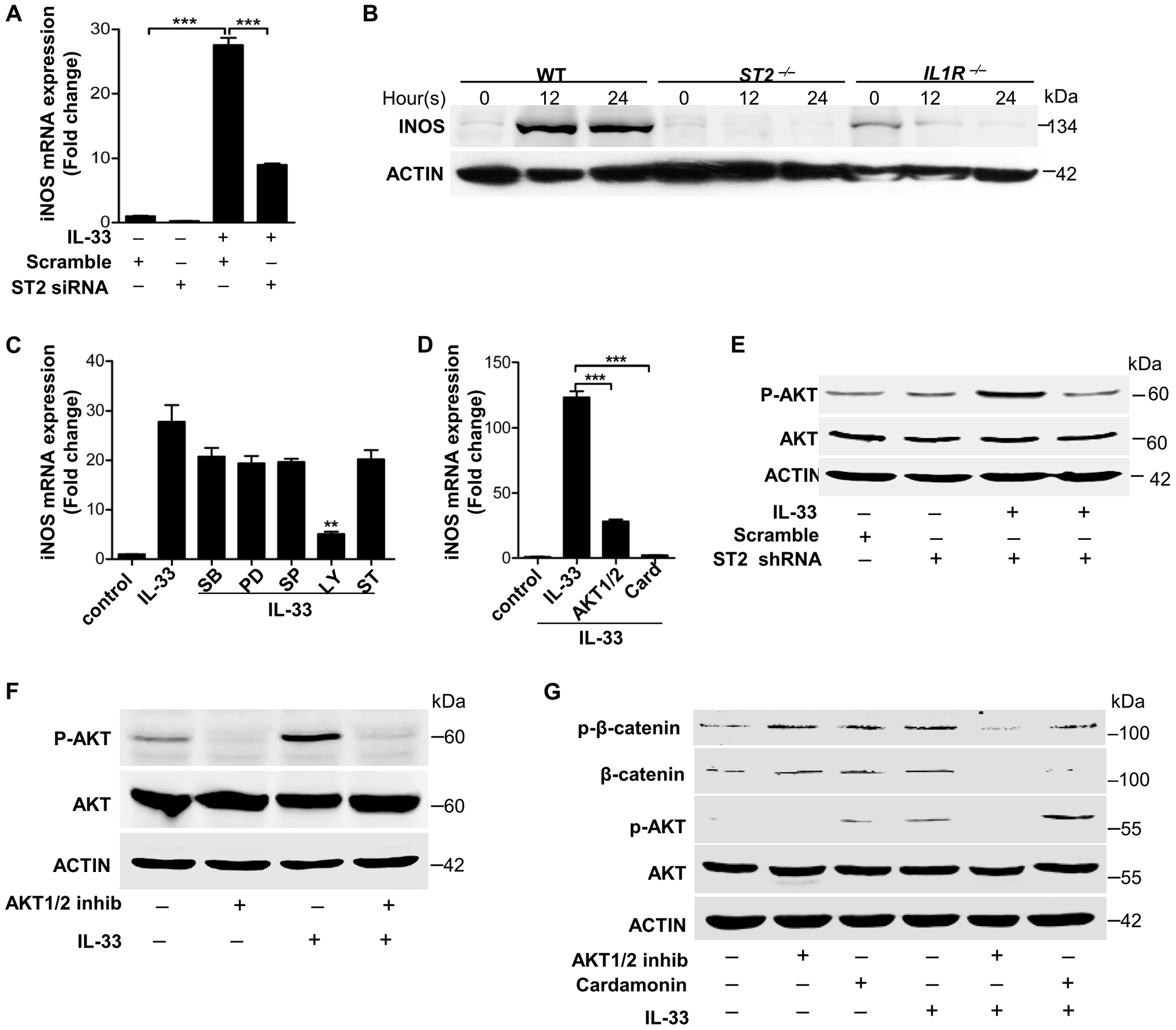 IL-33 activates ST2-AKT-β-catenin to induce iNOS.
