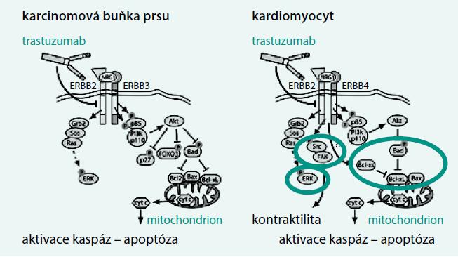 Schéma. Mechanizmus účinku trastuzumabu v nádorové buňce a myokardu. Upraveno podle [46]