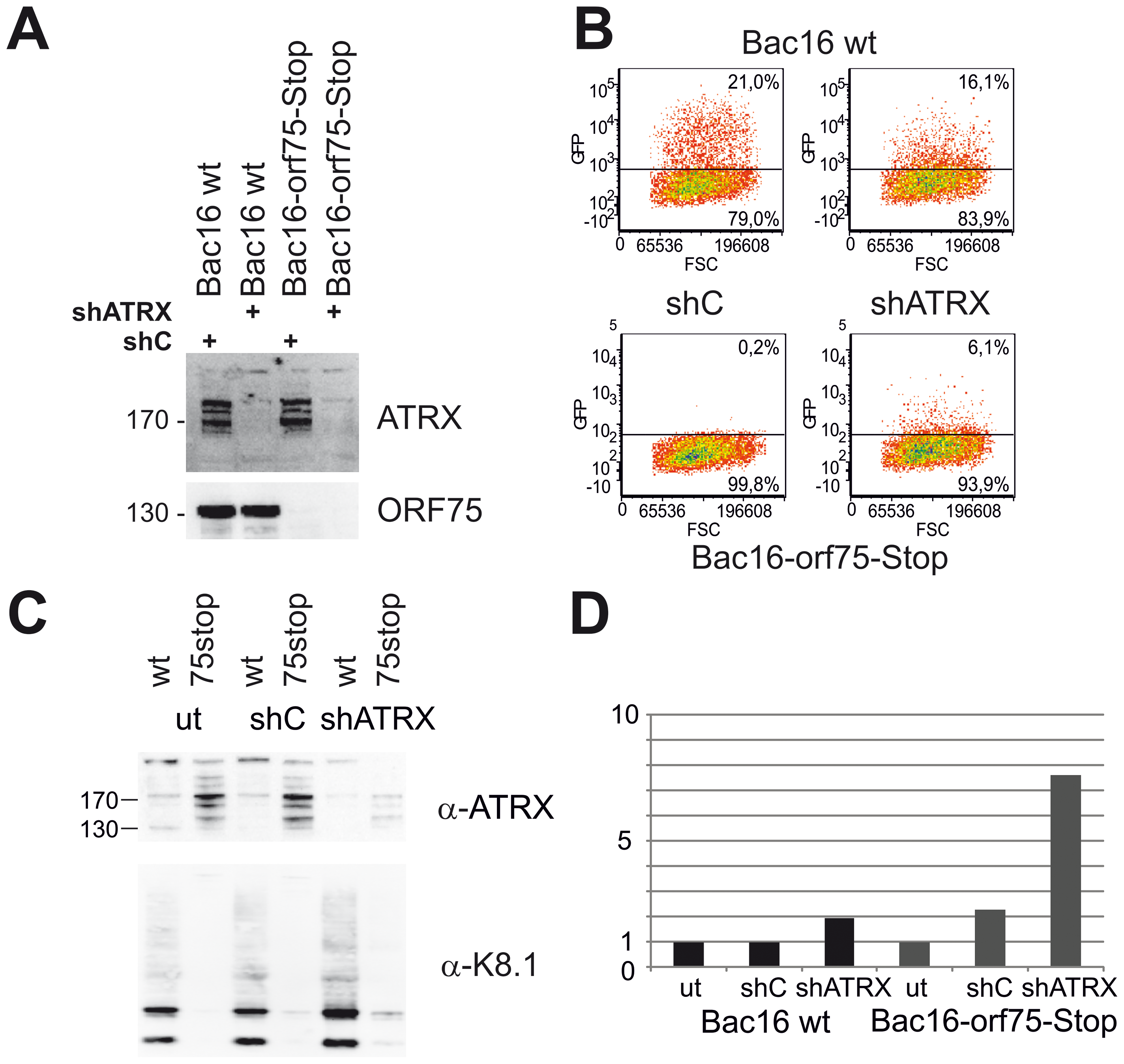 KSHV Bac16-orf75-Stop cells can be complemented by knock-down of ATRX.