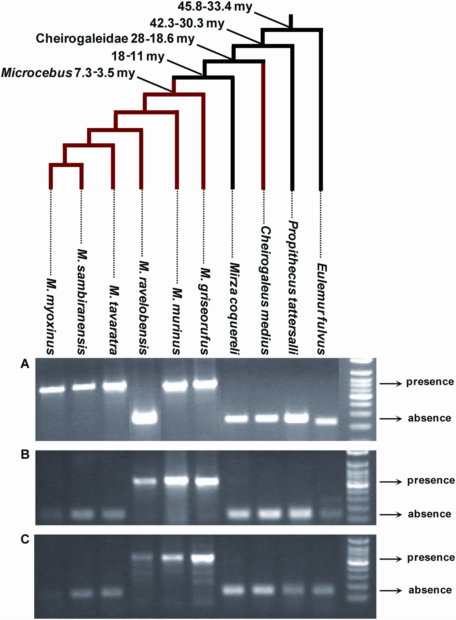 PCR screening for presence/absence of orthologous solo LTR in various species of Malagasy lemurs.