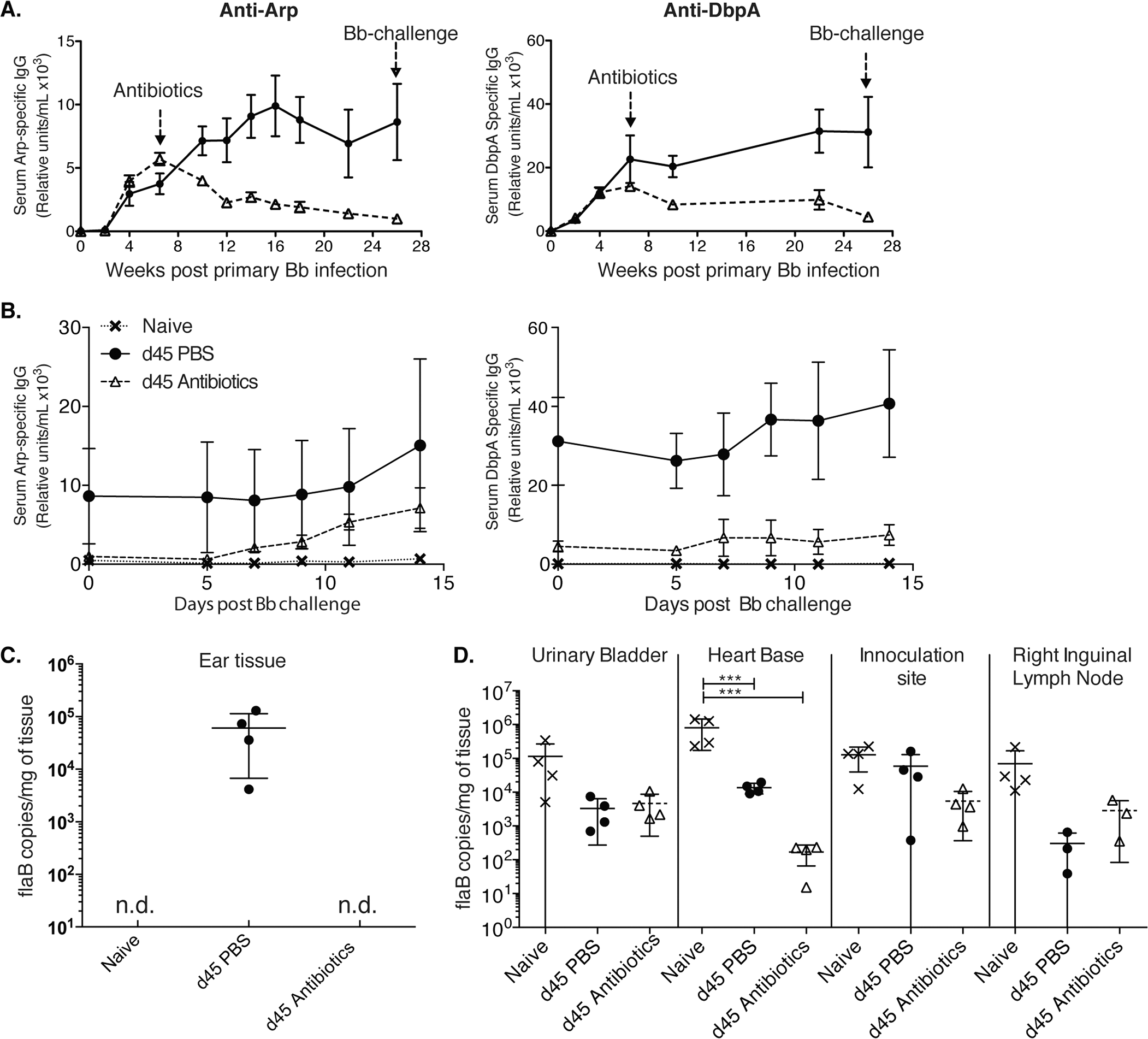 Lack of long-lived antibody responses after Bb infection (A-B)