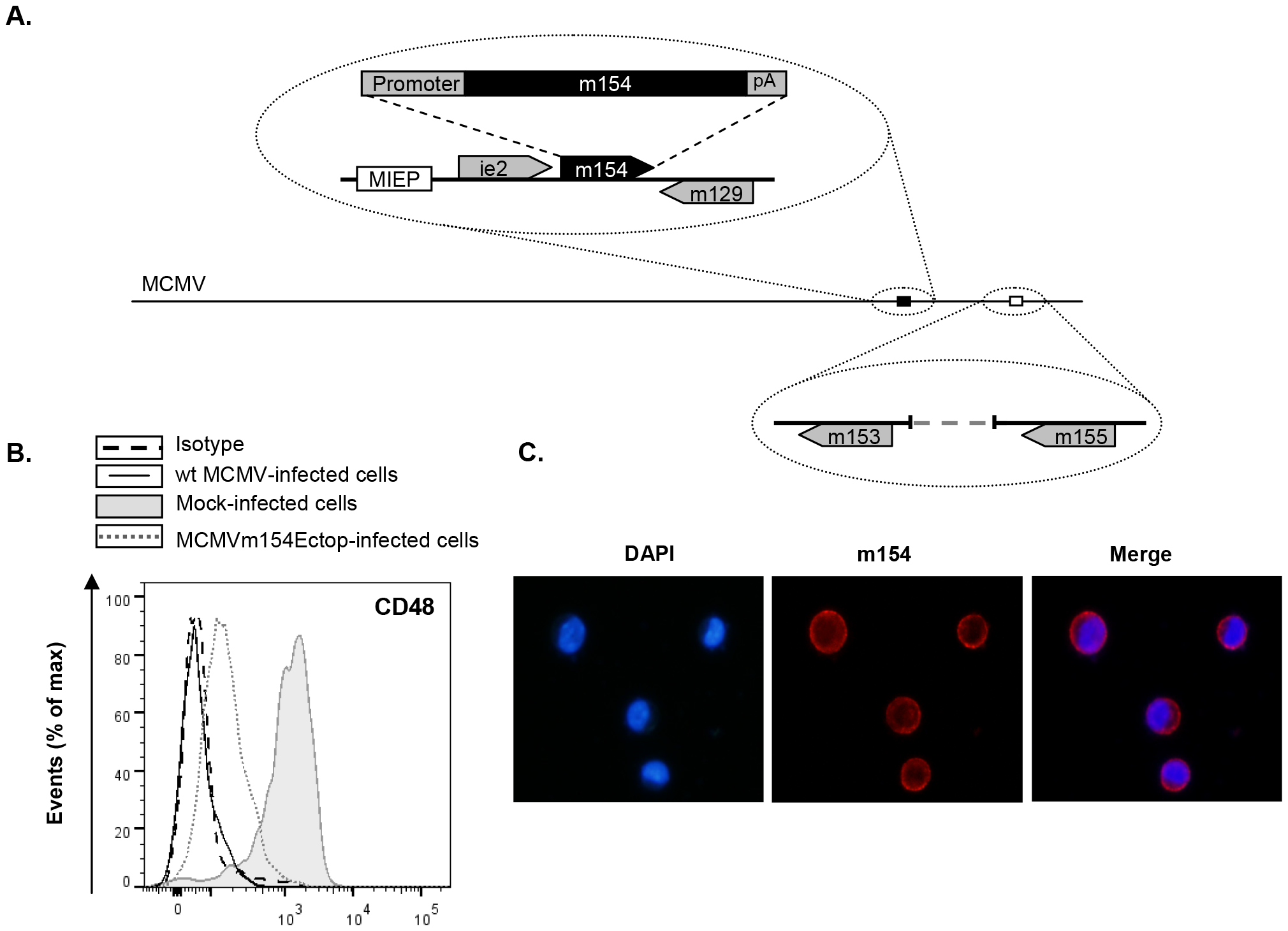 The <i>m154</i> gene ectopically expressed within the MCMVΔm154 genome decreases CD48 surface levels on MCMV-infected macrophages.