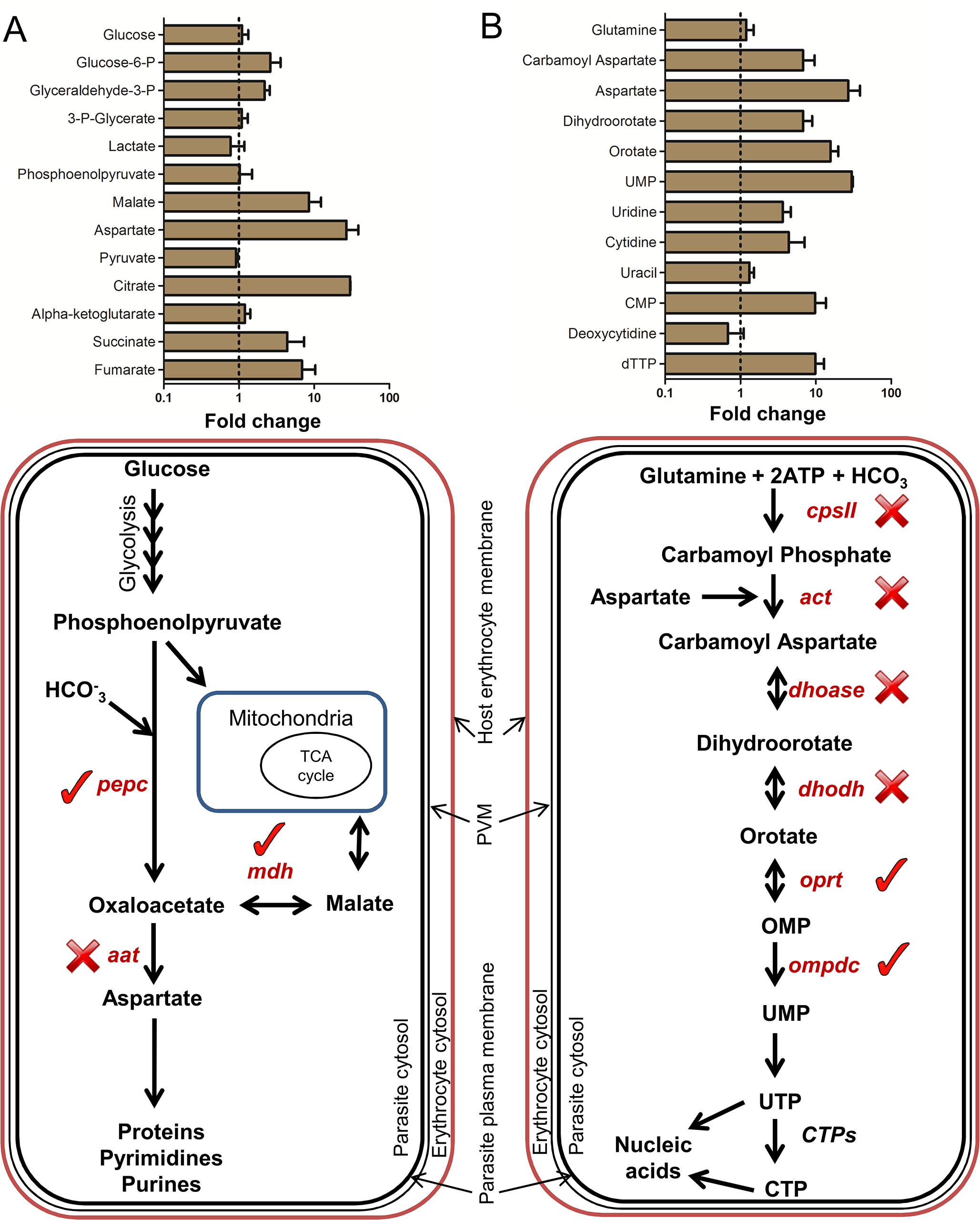 Metabolites of intermediary carbon metabolism (ICM) and pyrimidine biosynthesis are up-regulated in reticulocytes.