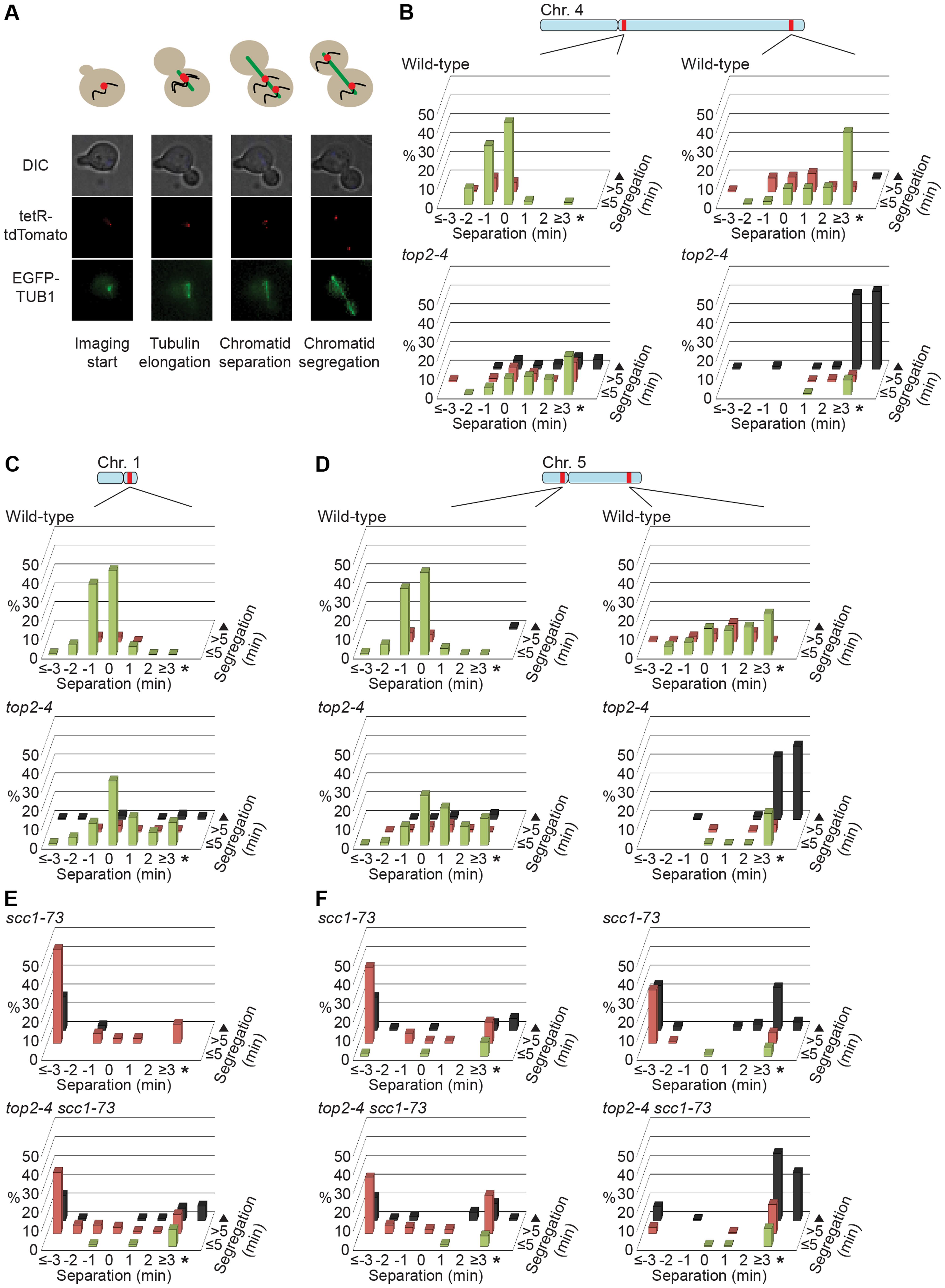 Chromosome segregation in wild-type, <i>top2-4</i>, <i>scc1-73</i> and <i>top2-4 scc1-73</i> cells.