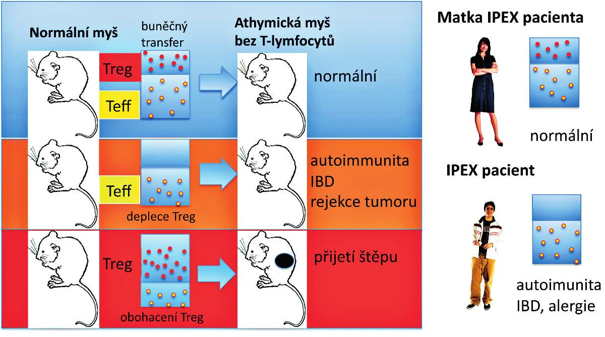 """Syndrom IPEX a efekt Treg deficience u myší a lidí.  T buněčná suspenze připravená z normální myši může být přenesena celá (vlevo nahoře) nebo zbavená Treg (CD4<sup>+</sup>CD25<sup>+</sup> regulačních Foxp3<sup>+</sup> T-lymfocytů) a pak přenesená do syngenní myši bez T buněk (athymické """"nahé"""" myši) (deplece Treg – vlevo uprostřed). Příjemce pak zůstane zdráv (normální – vlevo nahoře) nebo spontánně vyvine autoimunitní onemocnění nebo IBD a má schopnost odvrhnout nádorové buňky (vlevo uprostřed). Naopak, když jsou Treg z normální myši obohaceny a přeneseny do athymické """"nahé"""" myši, tak je recipient schopen přijmout alogenní štěp kůže bez rizika odvržení (obohacení Treg – vlevo dole). U lidí jsou mužští potomci postiženi IPEX syndromem (vpravo dole). Matky jsou nositelky heterozygotních defektů v alele FOXP3 genu a jsou imunologicky normální (vpravo nahoře), i když často mají buď redukovaný počet normálních Treg, nebo jsou postiženy mosaicismem normálních Treg a funkčně defektních Treg způsobeným náhodnou inaktivací FOXP3 genu na X chromosomu. Červené a žluté symboly znázorňují intaktní Treg a efektorové (konvenční) CD4<sup>+</sup> T-lymfocyty (Teff). Treg převážně suprimují vývoj efektorových CD4<sup>+</sup> T-lymfocytů z naivních T buněk."""