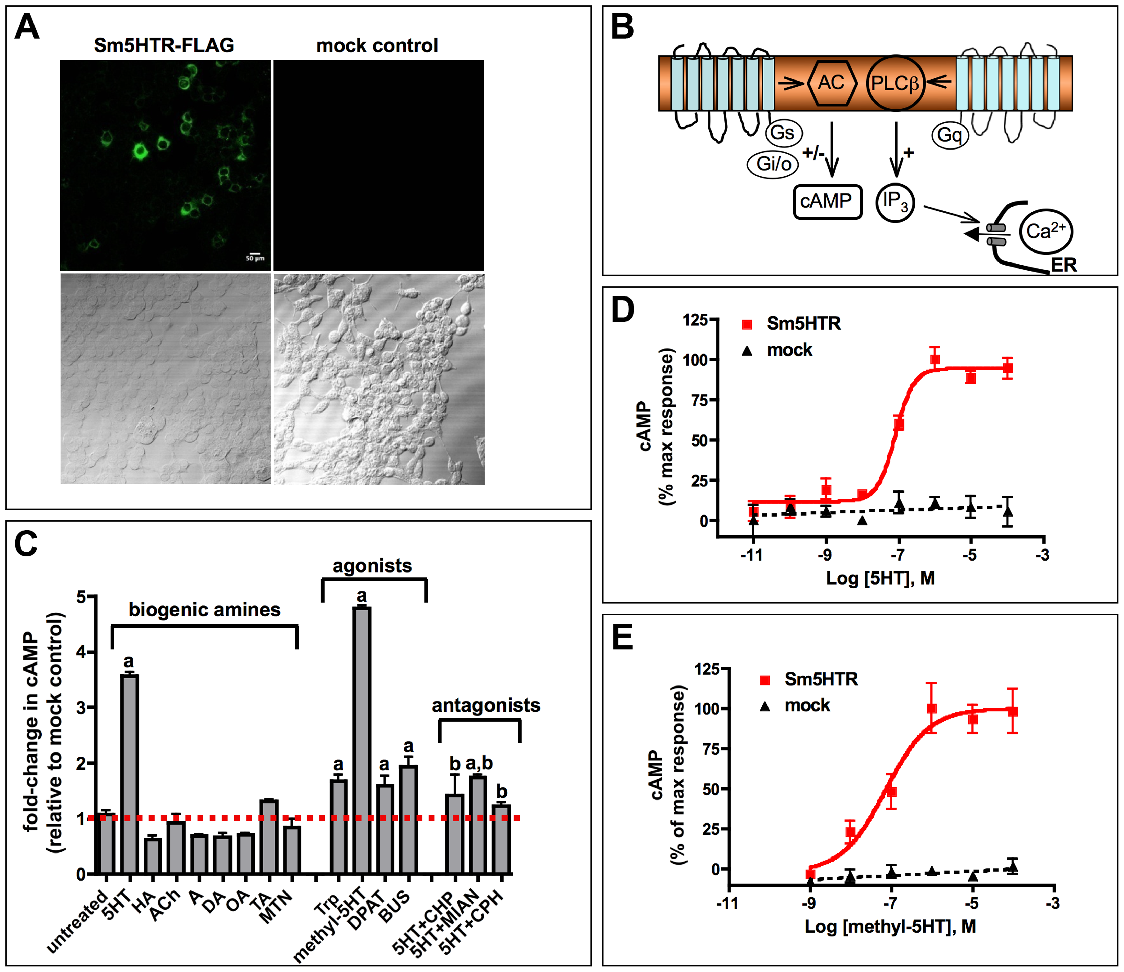 Functional expression of Sm5HTR in transfected HEK 293 cells.