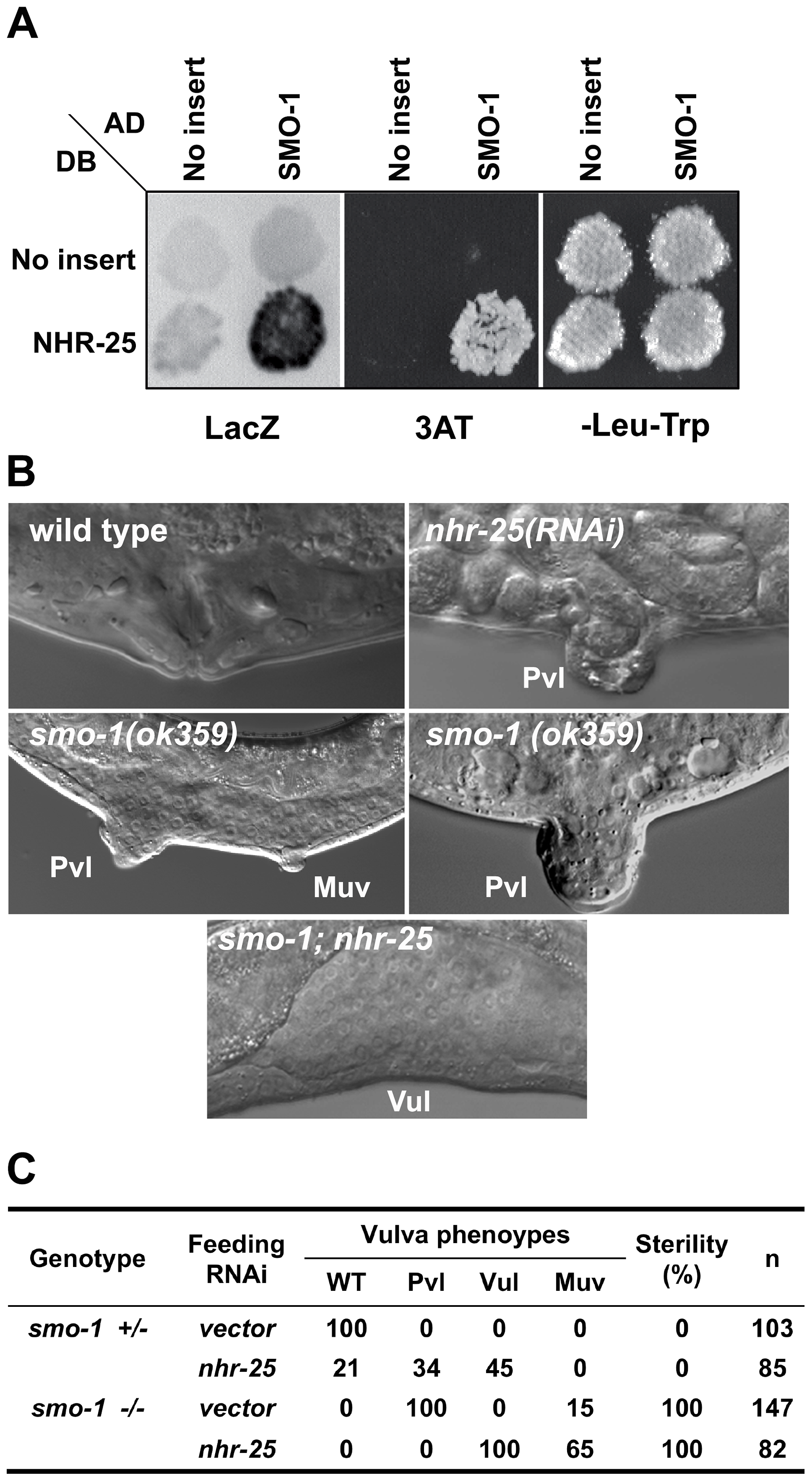 SMO-1 and NHR-25 physically and genetically interact.