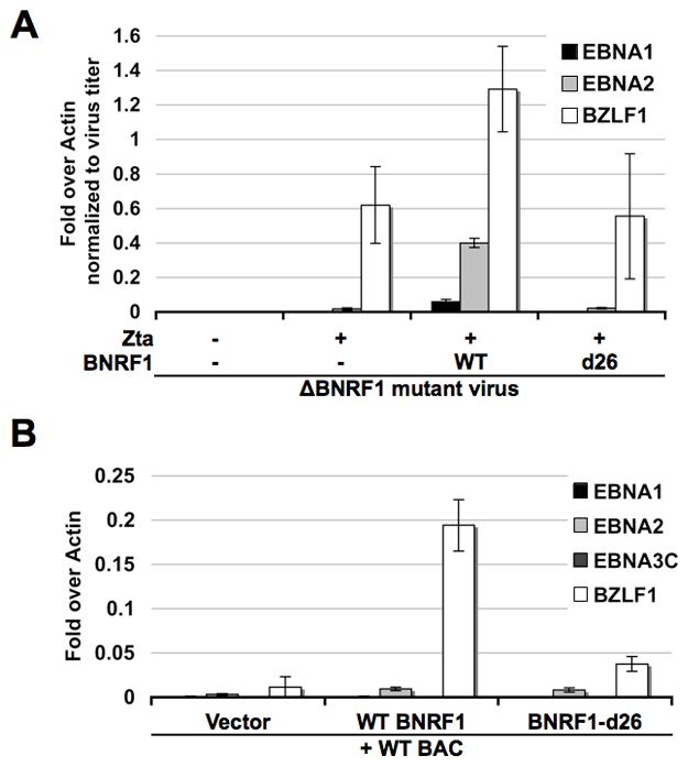 BNRF1 promotes viral gene expression.