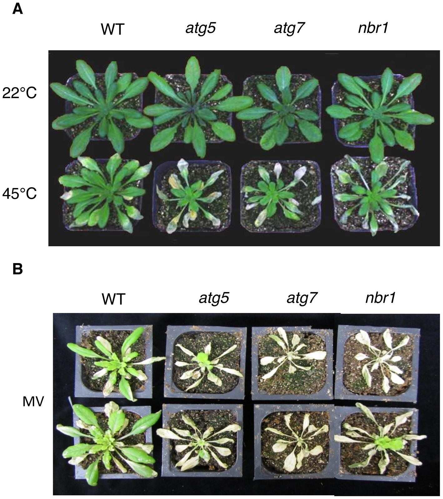 Enhanced sensitivity of <i>atg5</i>, <i>atg7</i> and <i>nbr1</i> mutants to heat and oxidative stresses.