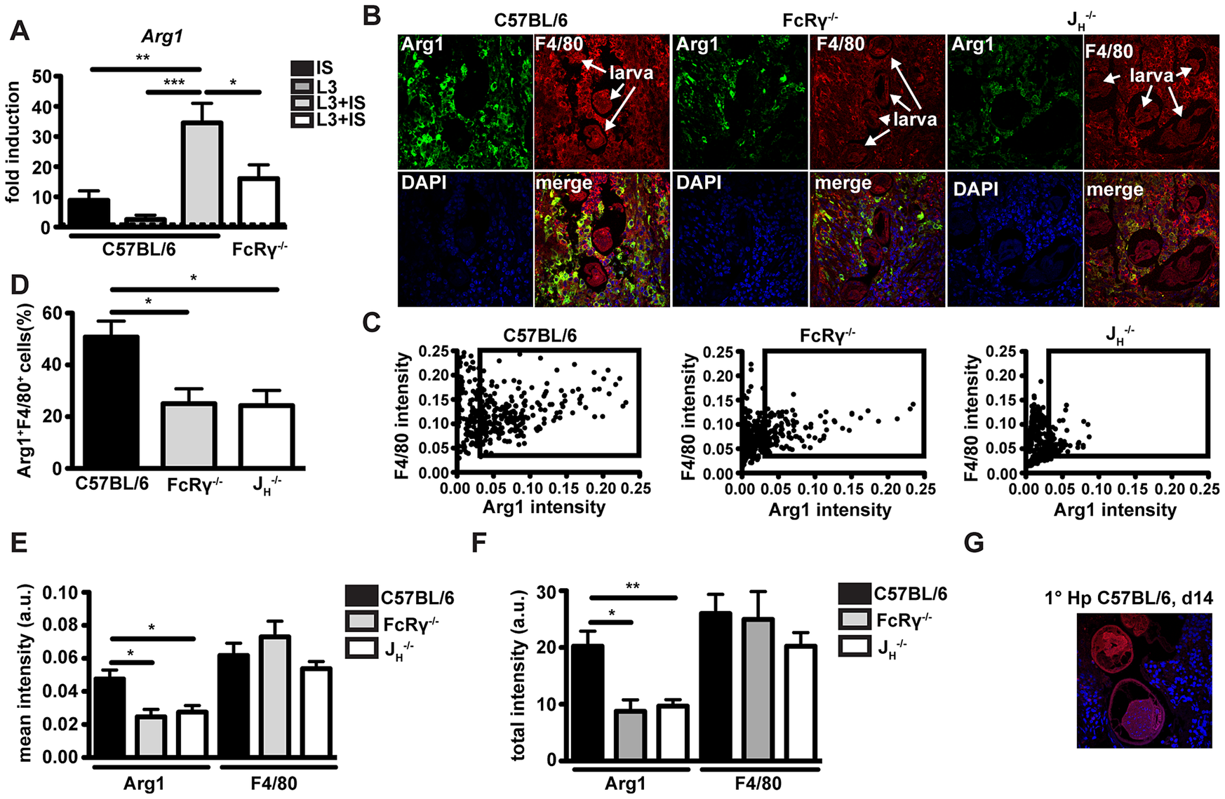 <i>Arg1</i> is induced by immune serum and <i>Hp</i> larvae <i>in vitro</i> and Arg1 expressing macrophages are less abundant in the granulomas from antibody and FcRgamma-chain deficient mice.