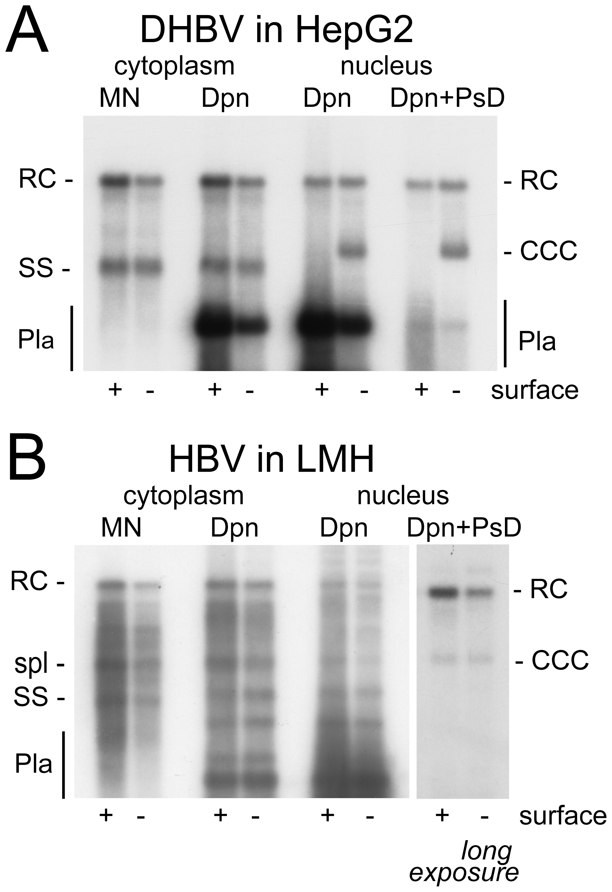 DHBV replication in human cells and HBV replication in avian cells.